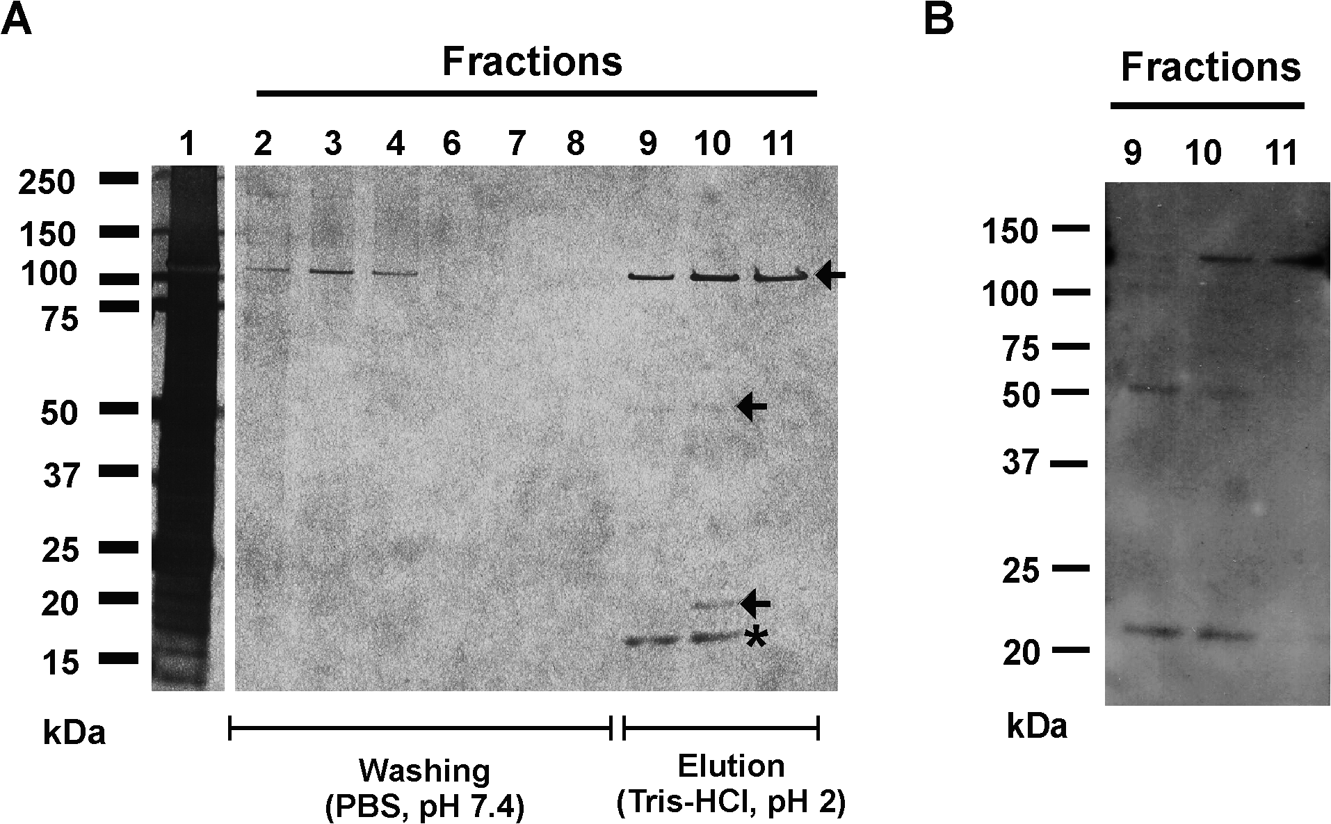Affinity purification of Aap domain-B interaction partners from crude biofilm matrix preparations.