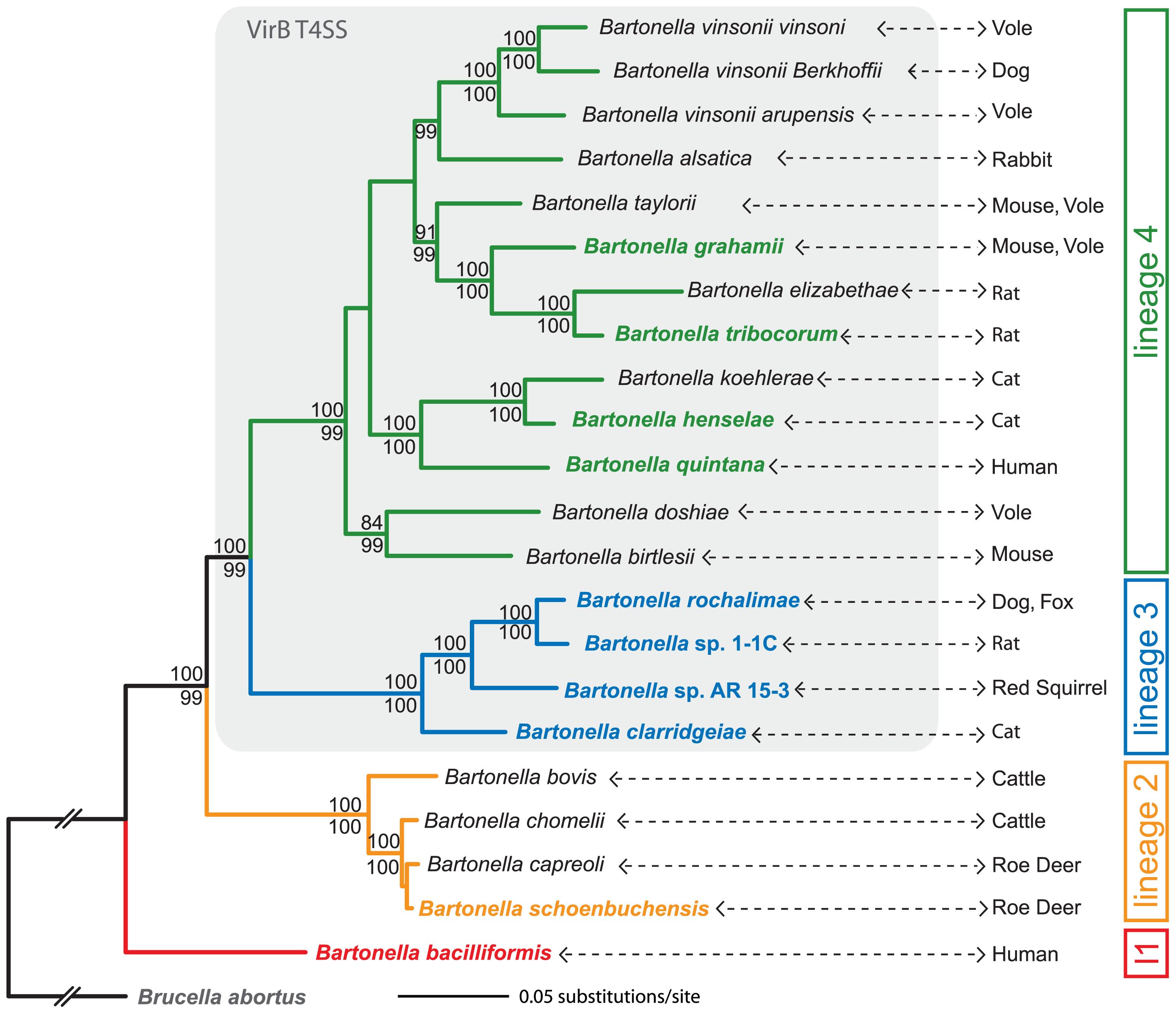 Phylogeny of <i>Bartonella</i> based on a genome-wide dataset.