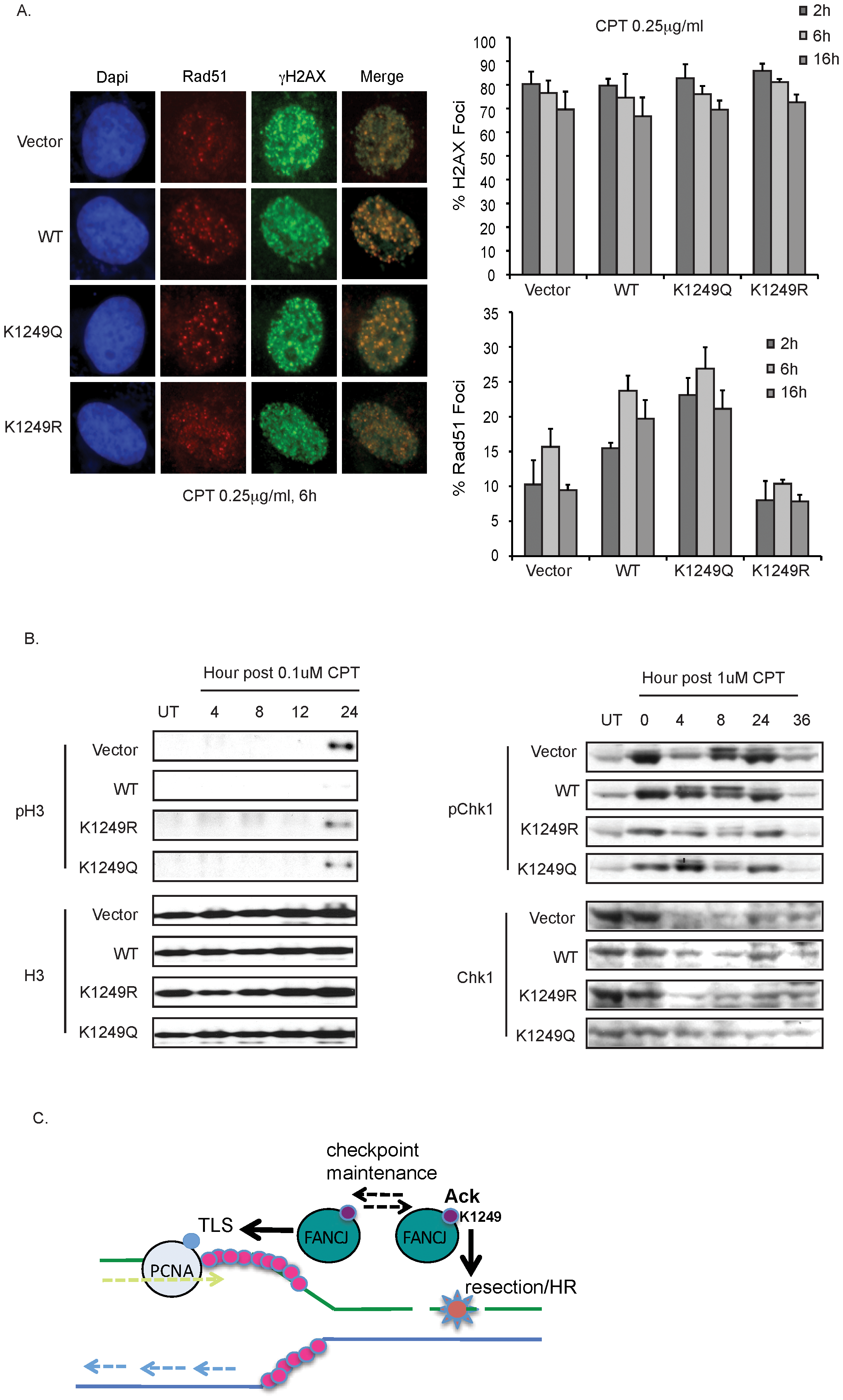 FANCJ and its dynamic regulation by acetylation promote resection-associated events.