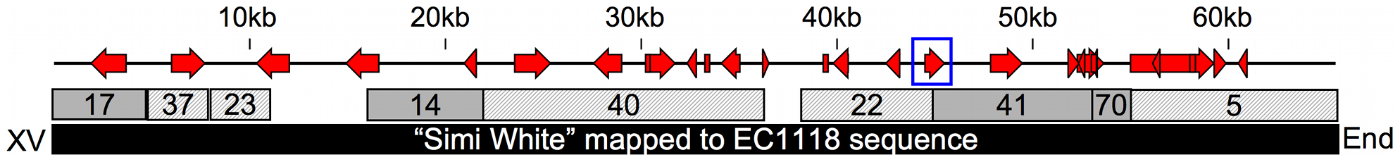 65kb insertion in subtelomeric region of chromosome XV.