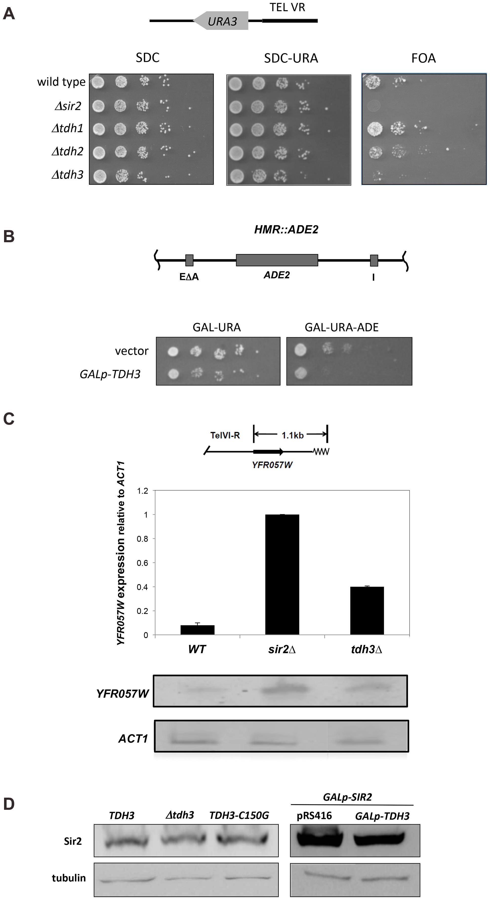 Tdh3 is a novel regulator of Sir2 dependent transcriptional silencing.