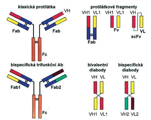 Obr. 3. Znázornění klasické (monospecifické) protilátky, bispecifické (trifunkční) protilátky a protilátkových fragmentů (diabodies).