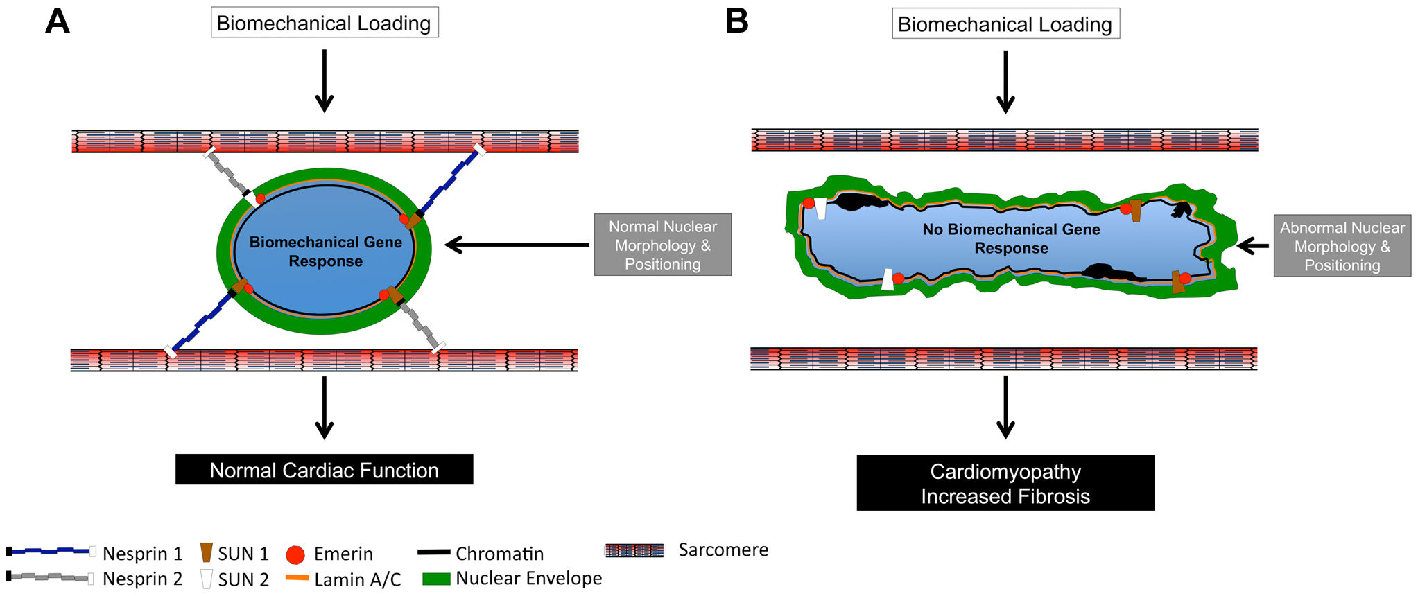 Model of Nesprin 1 and/or 2 loss in cardiomyocytes.