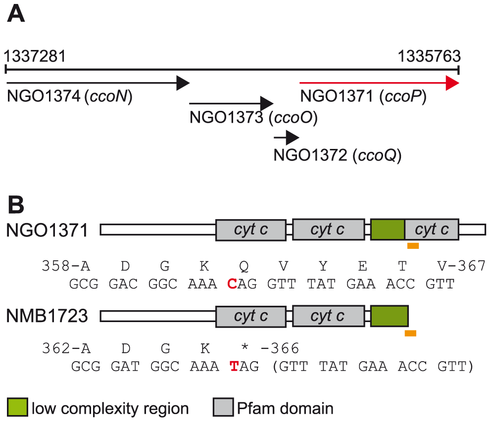 Organization of the neisserial <i>ccoNOQP</i> locus and domain architectures of <i>c</i>-type multiheme CcoPs.