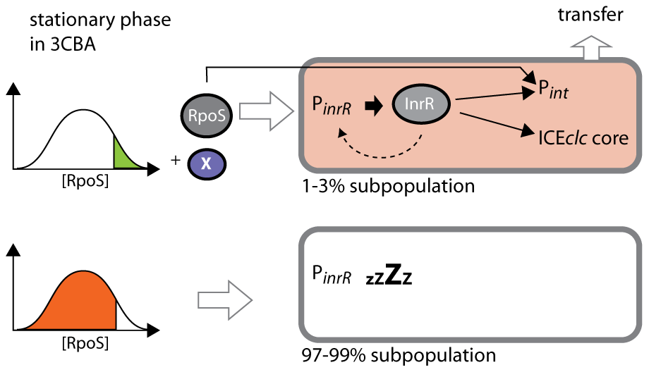Stochastic fluctuations of RpoS control permissiveness for bistable ICE<i>clc</i> activation and transfer.
