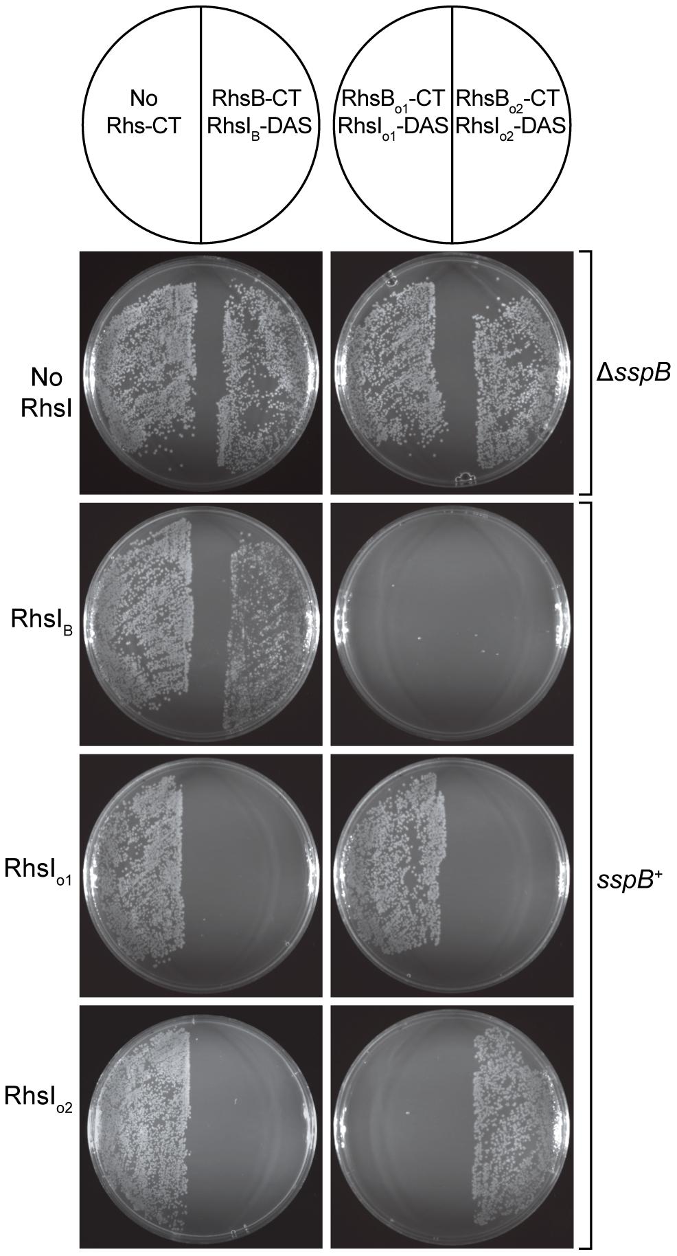 The Rhs genes of <i>D. dadantii</i> 3937 encode toxin/immunity pairs.