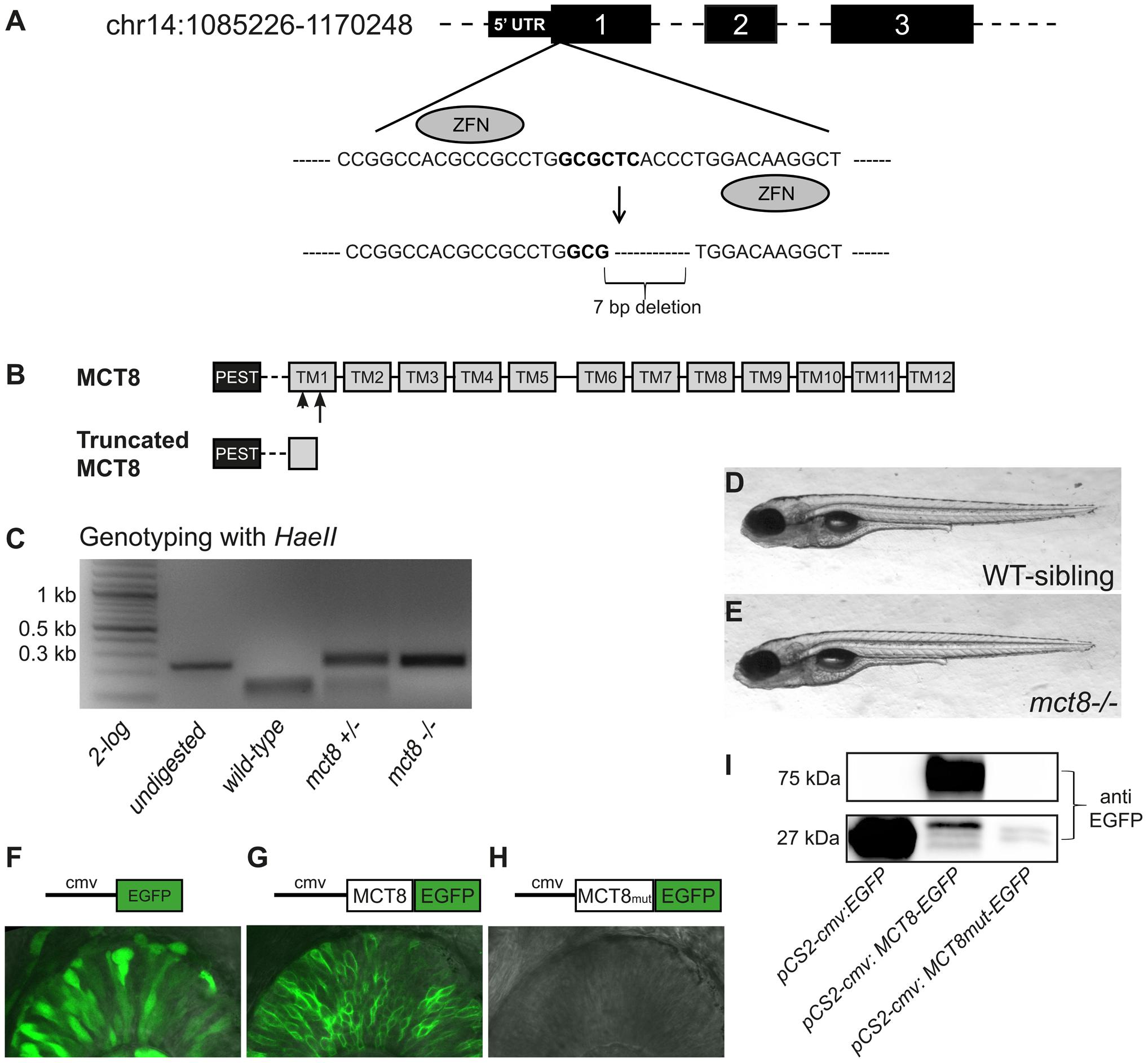 Establishment of ZFN-mediated <i>mct8</i> zebrafish mutant.