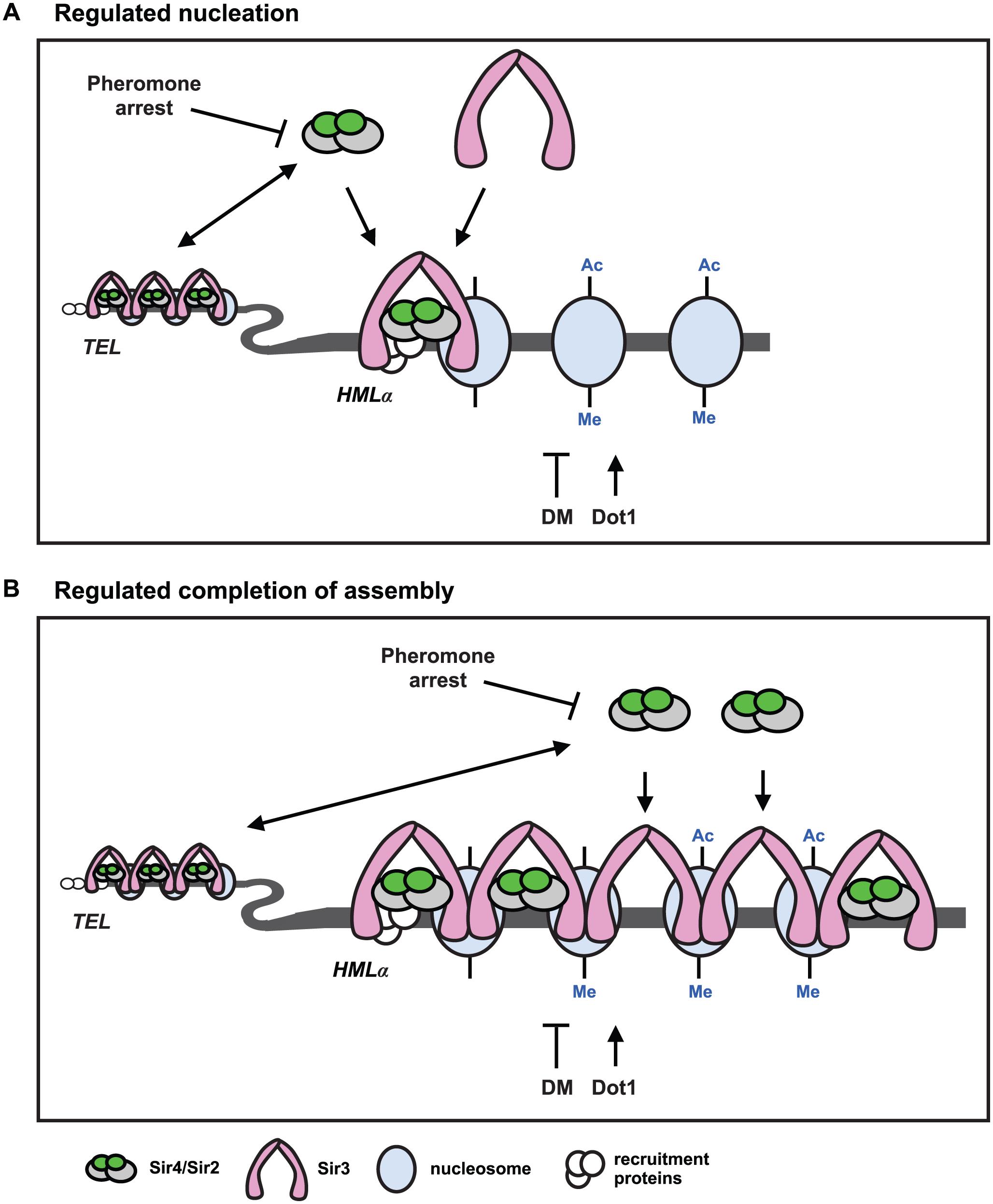 Two models for <i>de novo</i> establishment of heterochromatin.