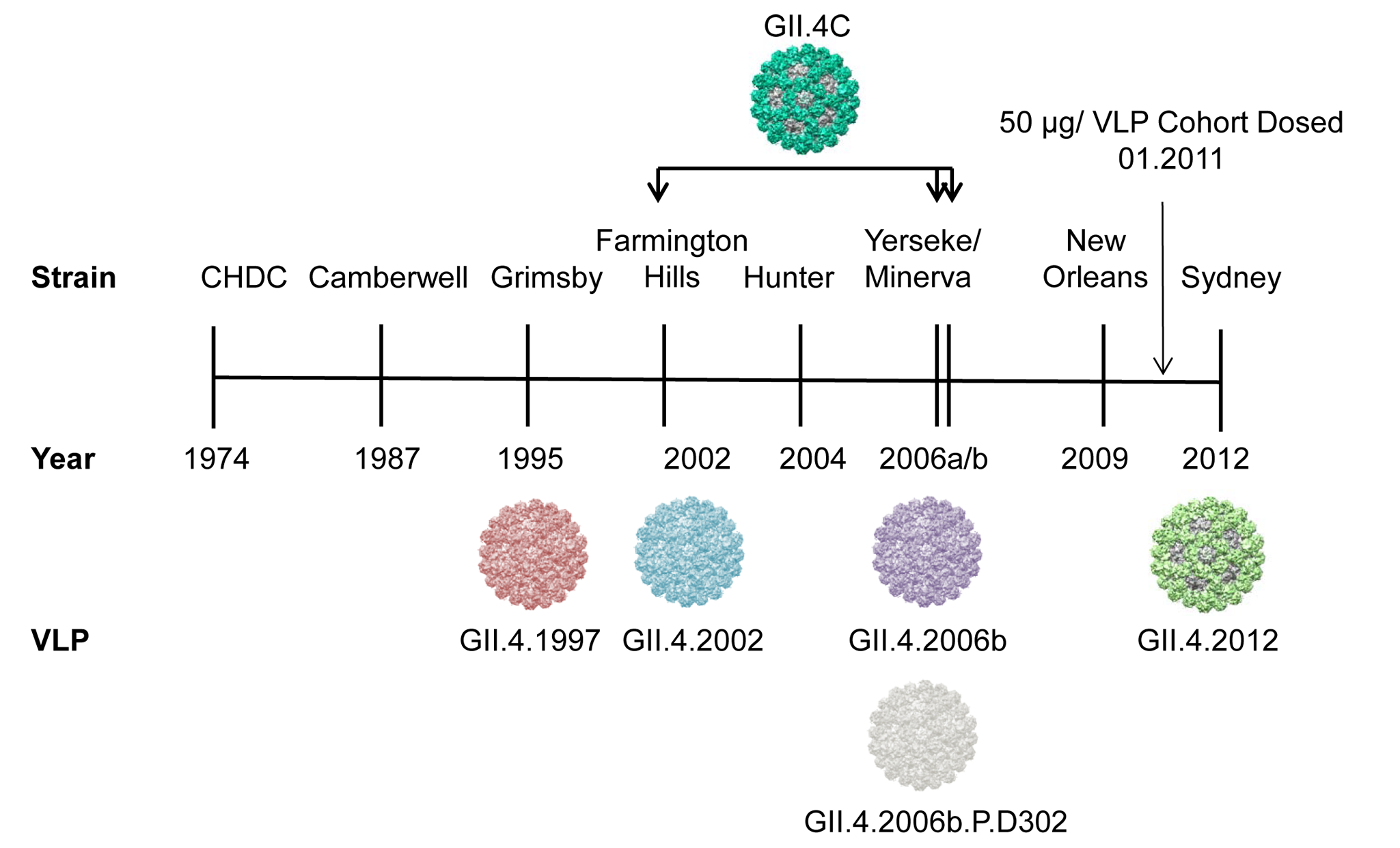 Temporal relationship between epidemiologically important GII.4 strains, relative to the virus-like particles and sera used in this study.