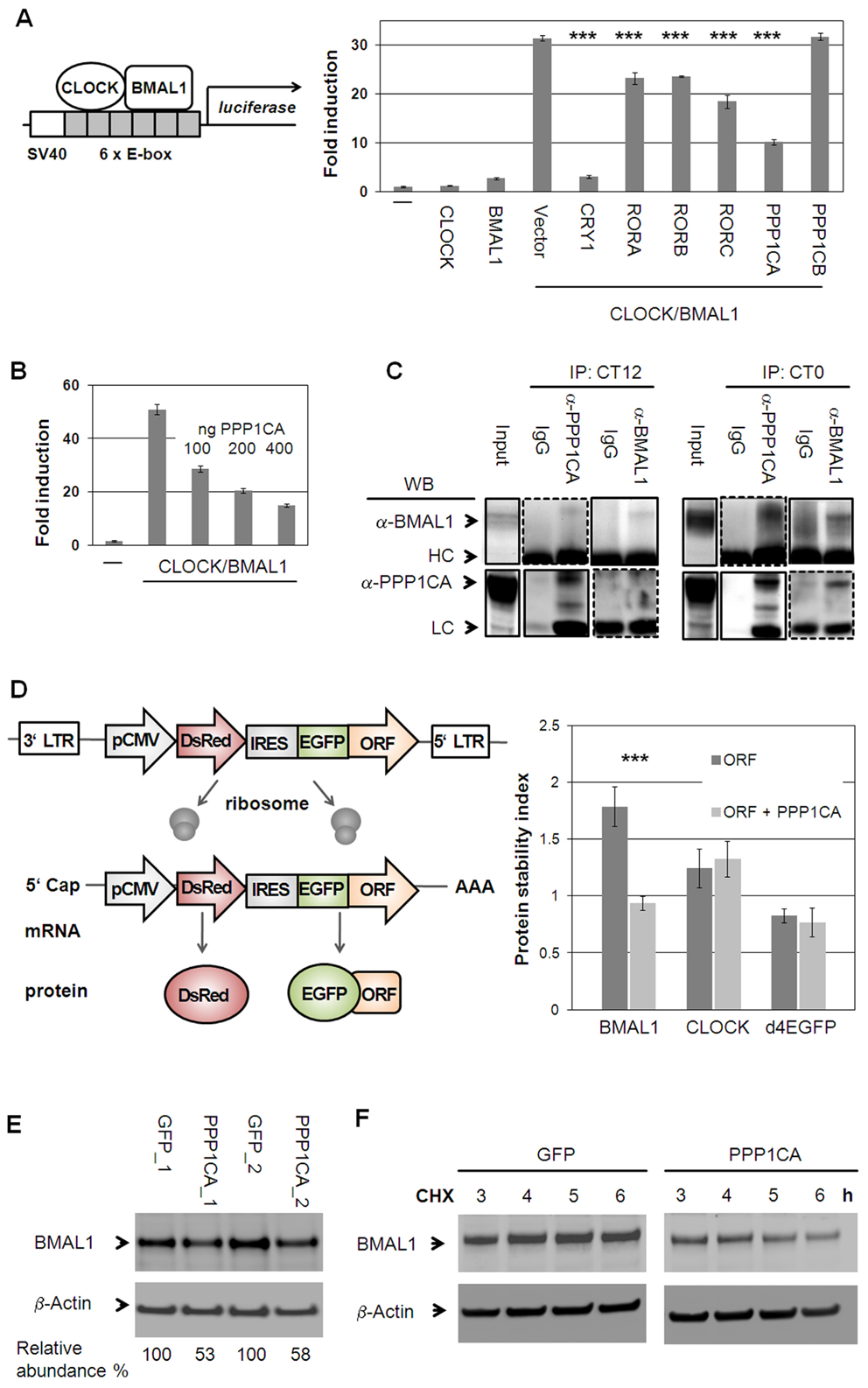 Protein Phosphatase 1 Modulates CLOCK/BMAL1 Function.