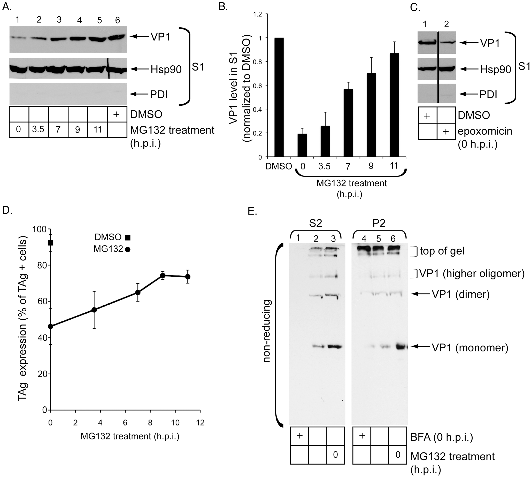 Release of SV40 into the cytosol depends on the host proteasome.