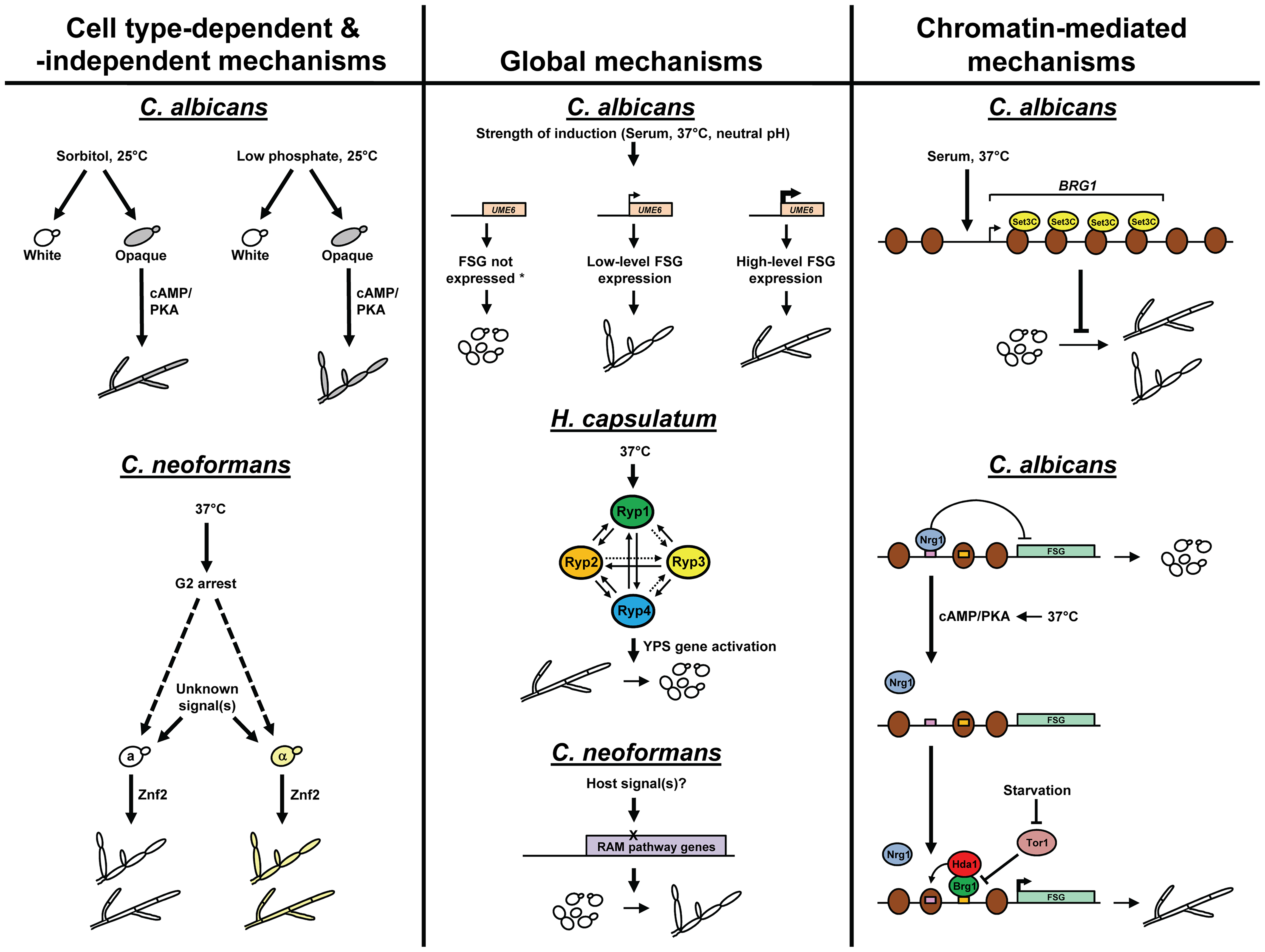 A comparison of molecular mechanisms used by human fungal pathogens to control morphology in response to environmental signals.