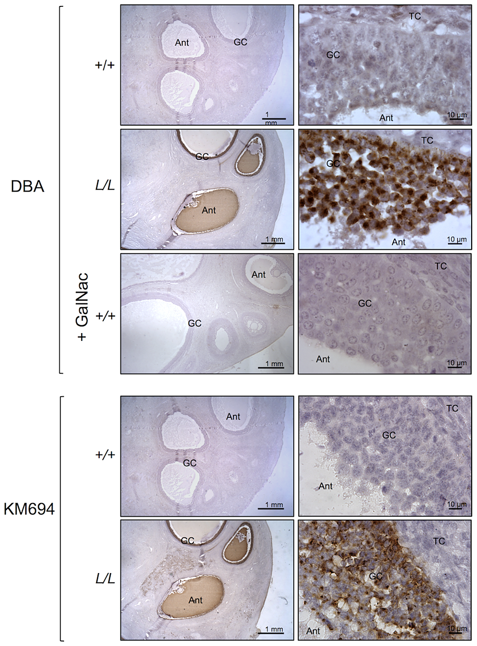 B4GALNT2 transferase activity revealed by DBA lectin and KM694 antibody staining in Lacaune sheep ovary.