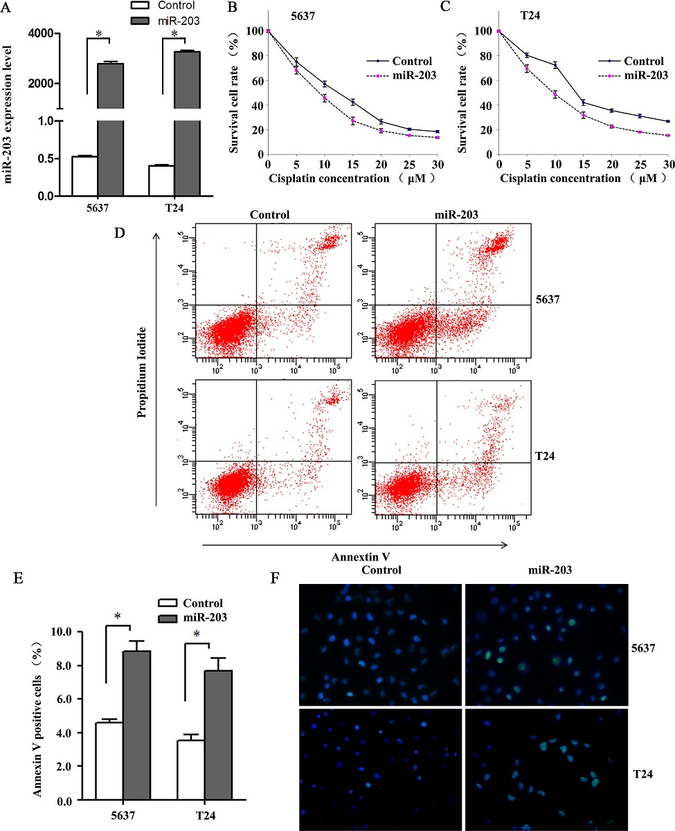 miR-203 enhances cytotoxicity of cisplatin on 5637 and T24 bladder cancer cells. (A) miR-203 expression levels in 5637 and T24 cells transfected with miR-203 mimics/negative control. miR-203 levels were significantly increased in cells transfected with miR-203 mimics compared with cells transfected with negative control (*P<0.001, t test, n = 6). (B, C) Concentration-dependent curves for 5637 and T24 cell lines transfected with miR-203 mimics and negative control at 24h. Cell viabilities of miR-203-overexpressing cells were dramatically reduced when compared with negative control cells at 5, 10, 15, 20, 25 and 30μM cisplatin (all at P<0.05, t test). (D) Flow cytometry analysis for apoptosis via double staining of cells with Annexin V FITC and propidium iodide (PI). (E) Quantification analysis of apoptosis shown in Fig 2B. Overexpression of miR-203 significantly augmented apoptosis in 5637 and T24 cell lines (*P<0.01, t test, n = 6). (F) TUNEL assay indicated 5637 and T24 cell lines transfected with miR-203 mimics showed elevated levels of DNA cleavage compared with normal control (40×). Cells were stained with DAPI and subjected to TUNEL assay to detect DNA and apoptotic cells.