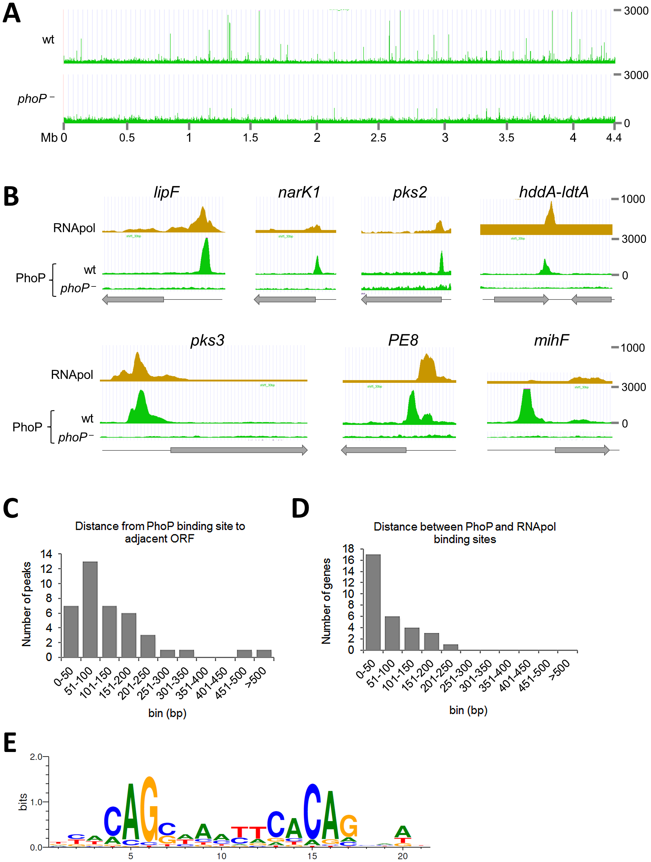 Mapping of PhoP binding sites in the <i>M. tuberculosis</i> chromosome by ChIP-seq.