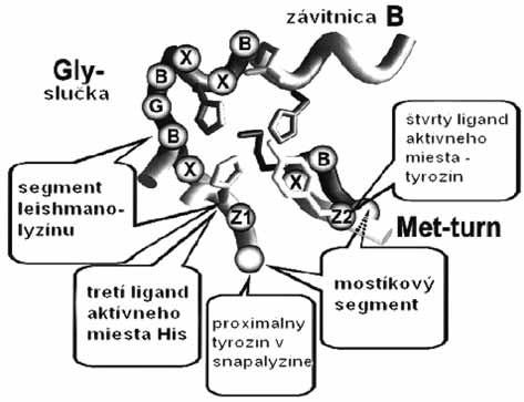 Schéma aktívneho miesta so spoločným segmentom HEXXHXXGXXH/D v skupine enzýmov metzincínu (slučky Met-turn a Gly, B sú apolárne aminokyseliny, X ľubovoľné jednotky a X sú špecifické aminokyseliny charakteristické pre jednotlivé enzýmy) <sup>51)</sup>