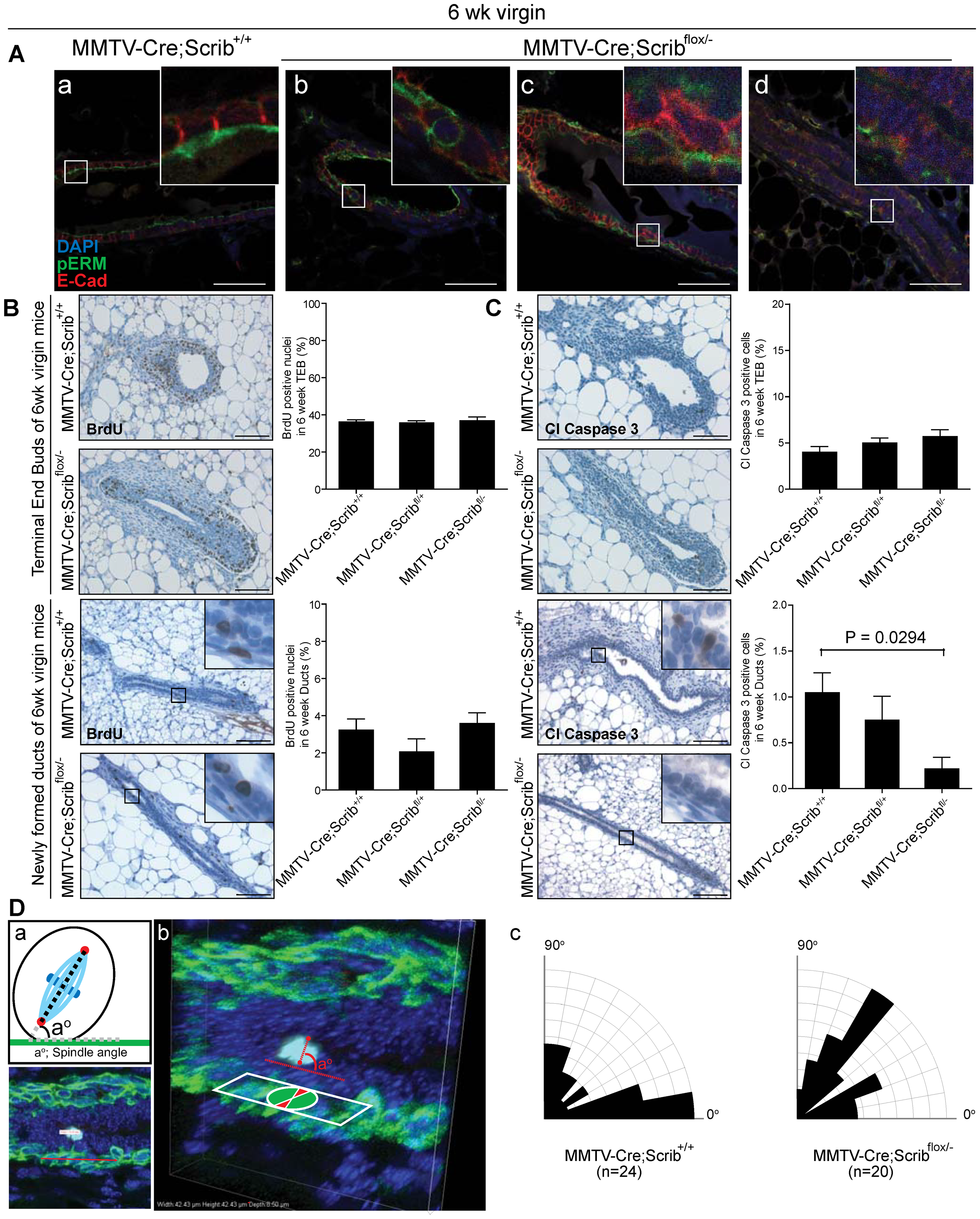 Hyperplasia is preceded by defects in cell polarity, apoptosis and spindle orientation during the remodelling and maturation of <i>Scrib</i>-deficient mammary ducts.