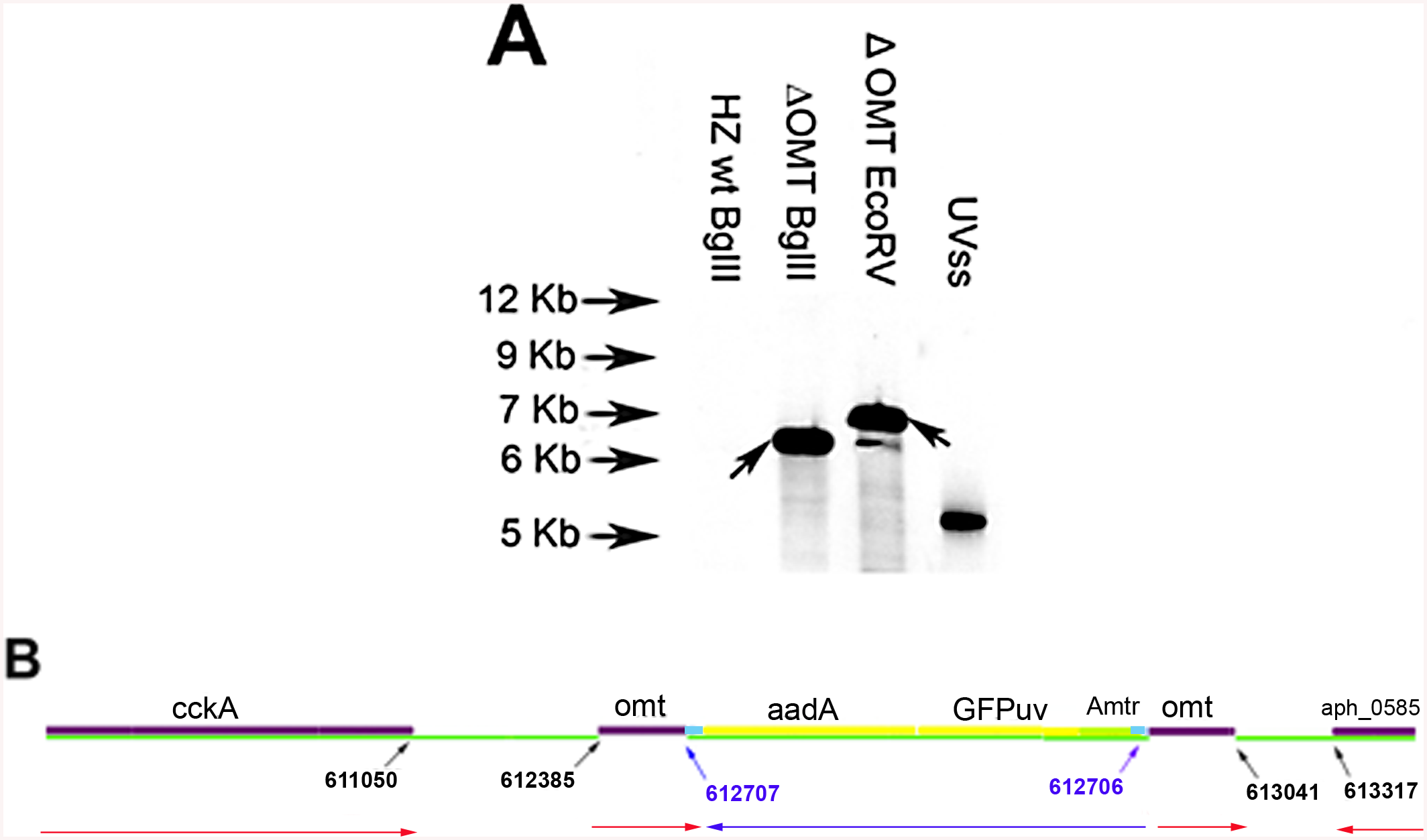 Determination of transposon insertion site in ΔOMT.