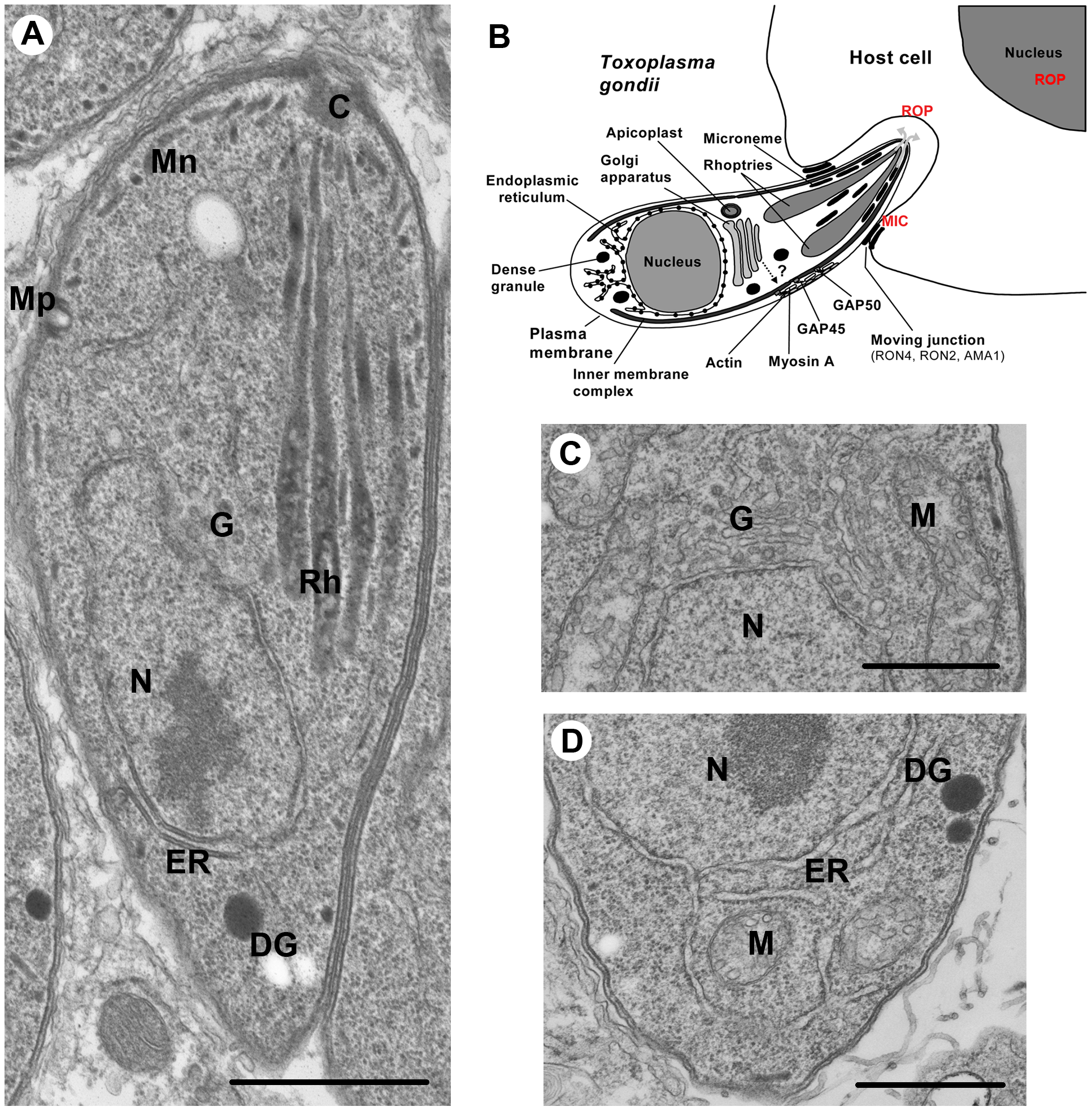 Ultrastructure of <i>Toxoplasma gondii</i>.