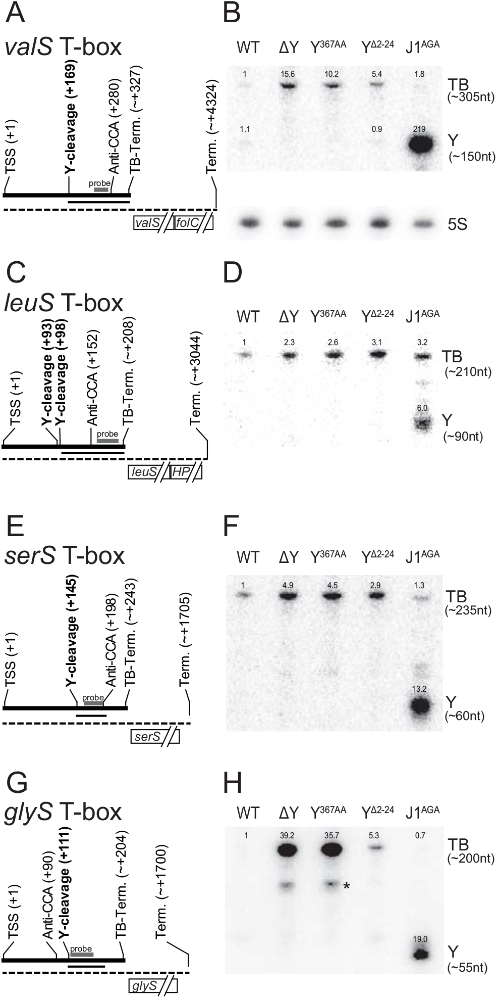 T-box riboswitches cleaved by RNase Y.