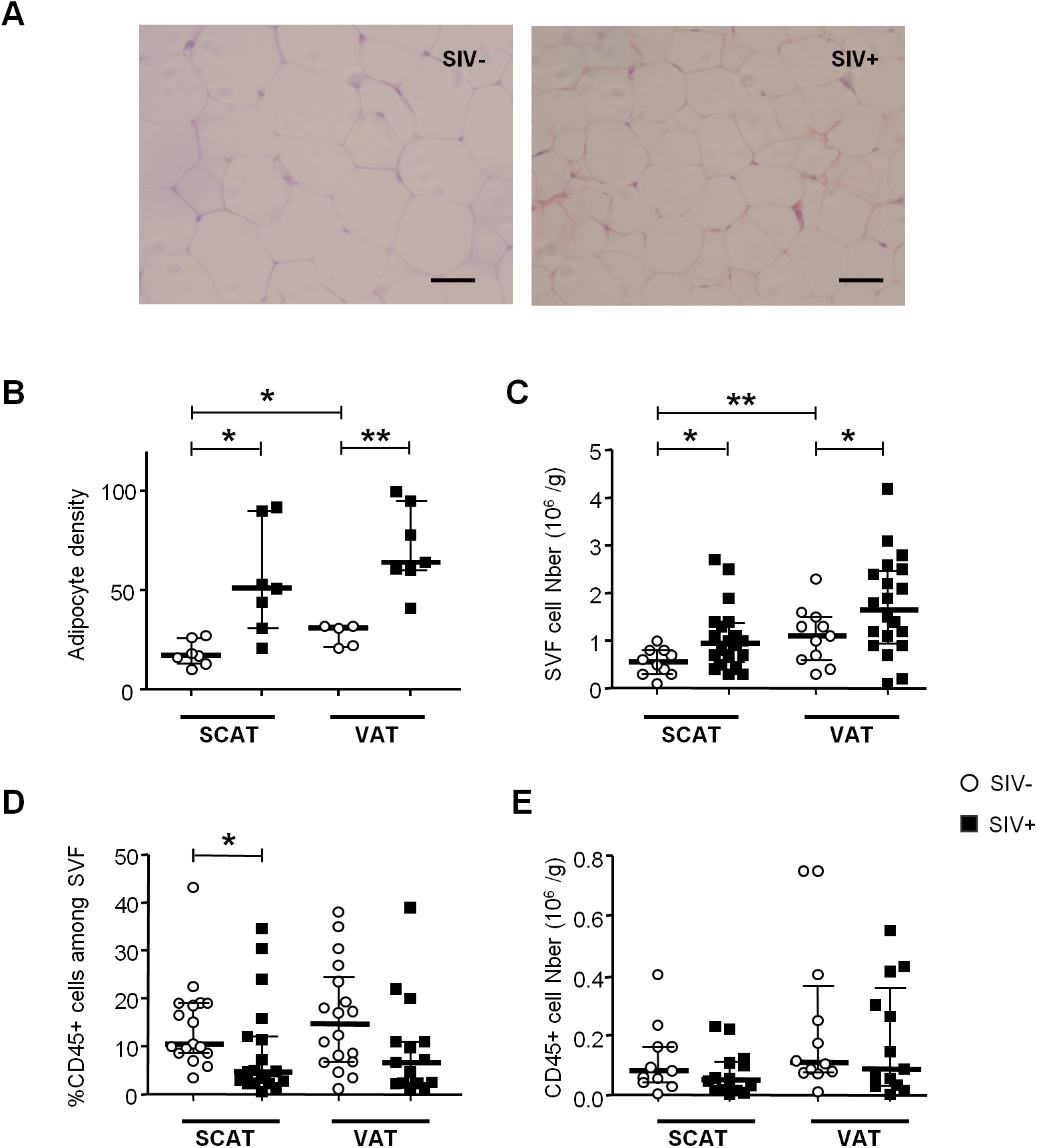 The influence of SIV infection on adipocyte and SVF cell density.