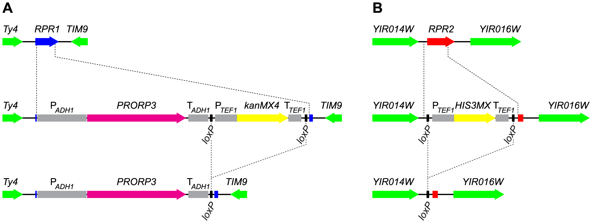 Gene replacement and deletion strategy: substitution of <i>RPR1</i> by <i>PRORP3</i> and deletion of <i>RPR2</i>.