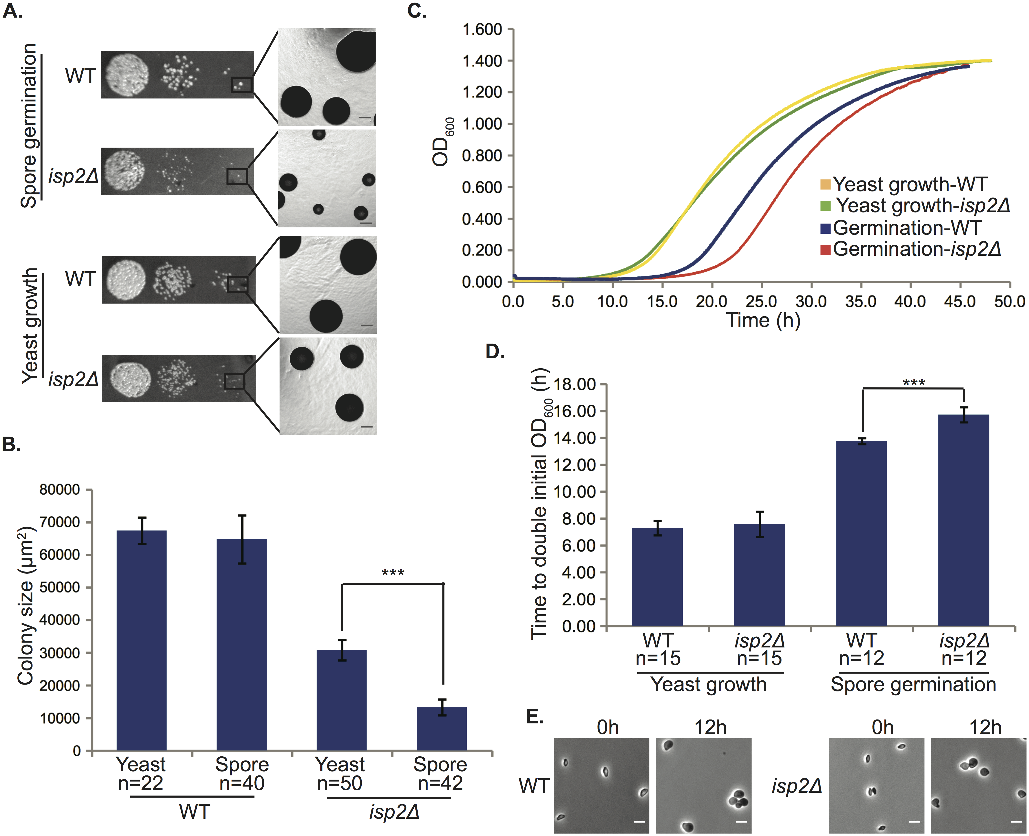 <i>isp2Δ</i> spores show a delay in germination.