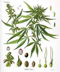 Konopa siata (Cannabis sativa) vo vyobrazení Franza Eugena Köhlera z roku 1887
