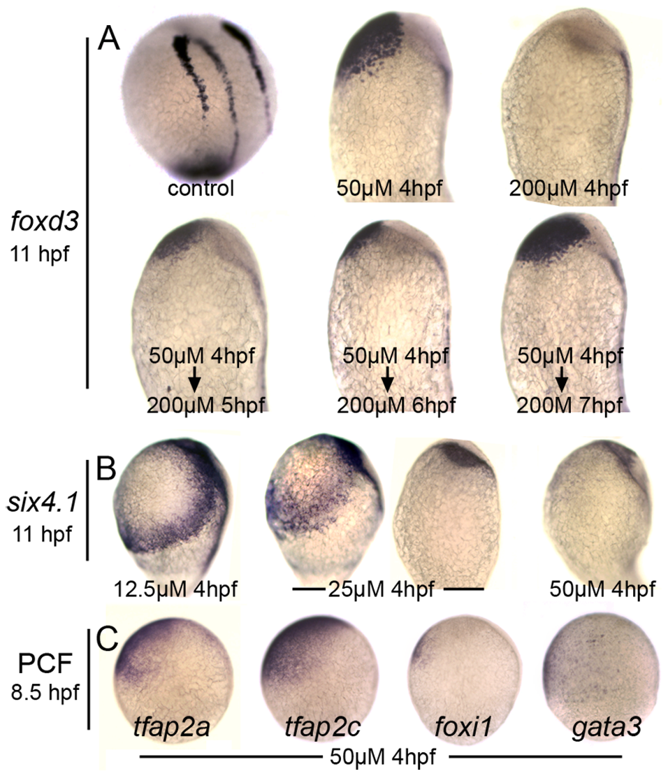Distinct responses of neural crest and preplacodal ectoderm to graded impairment of Bmp.