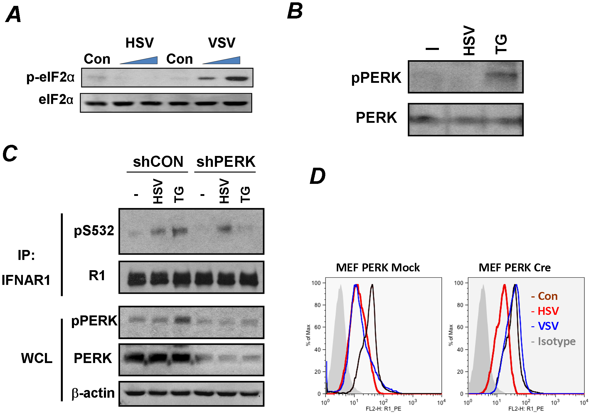 Phosphorylation-dependent downregulation of IFNAR1 by HSV occurs in a PERK-independent manner.