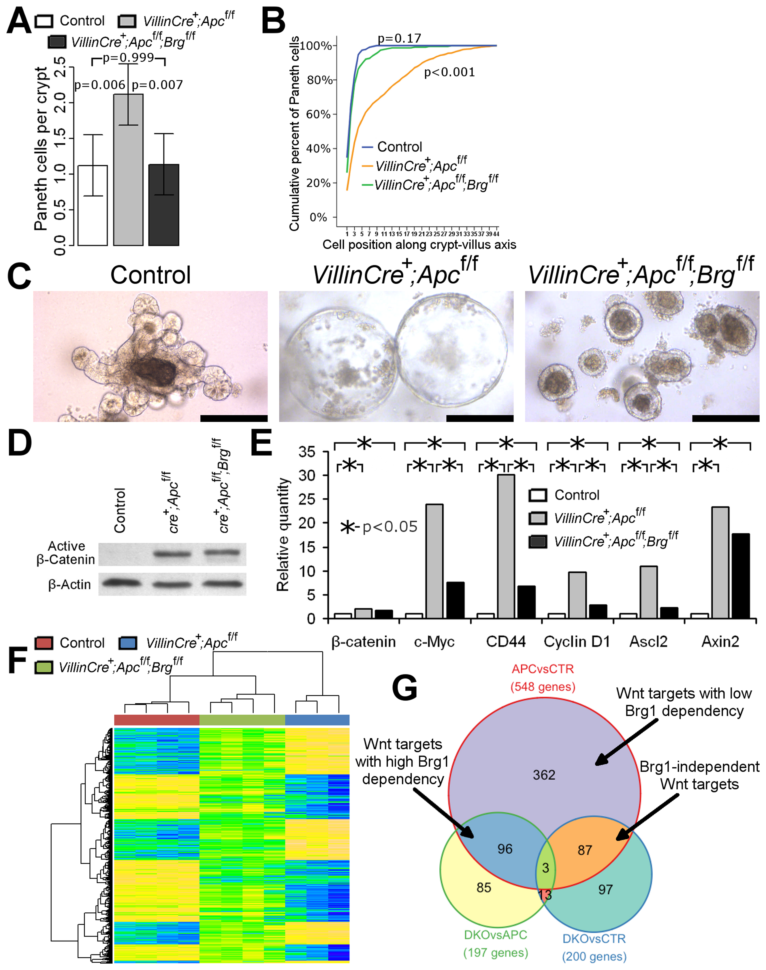Brg1 loss attenuates Wnt target gene expression and prevents mislocalisation of Paneth cells and formation of aberrant organoids.