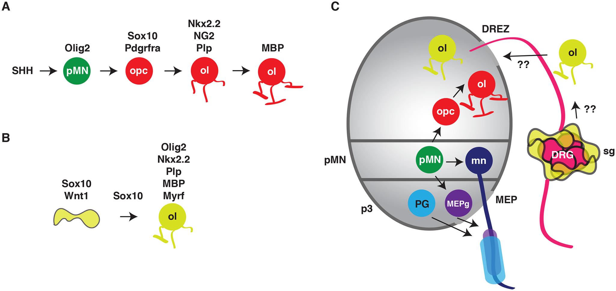 Conversion of satellite glia into oligodendrocyte-like cells.