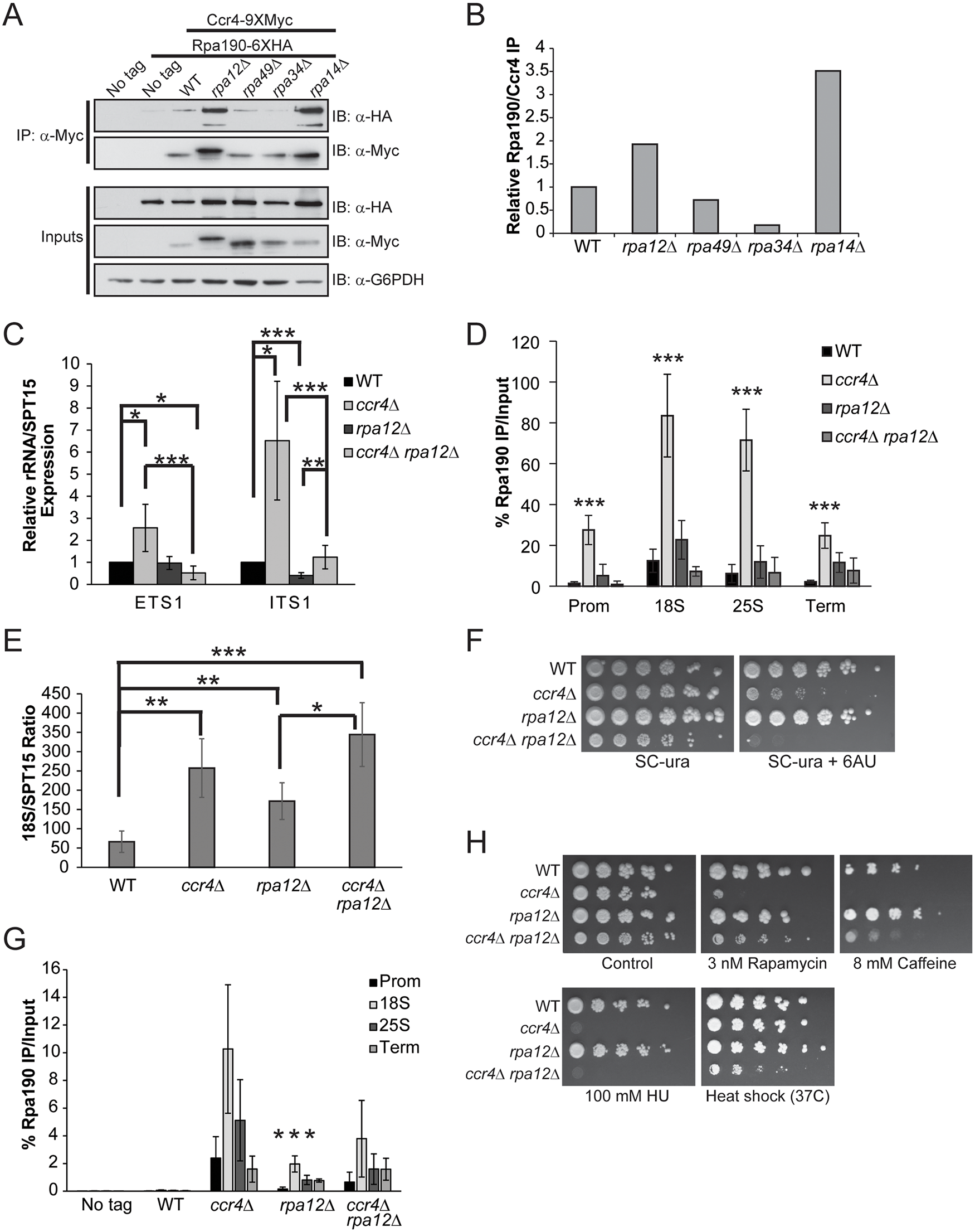 Pol I elongation subunits modulate Ccr4-Not interaction and the sensitivity of Ccr4-Not mutants to mTORC1 inhibition.