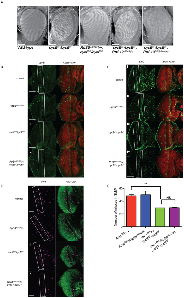 <i>RpS6</i> mutant suppresses the small rough eye phenotype of <i>cycE<sup>JP</sup></i>, but not through restoring CycE protein levels.