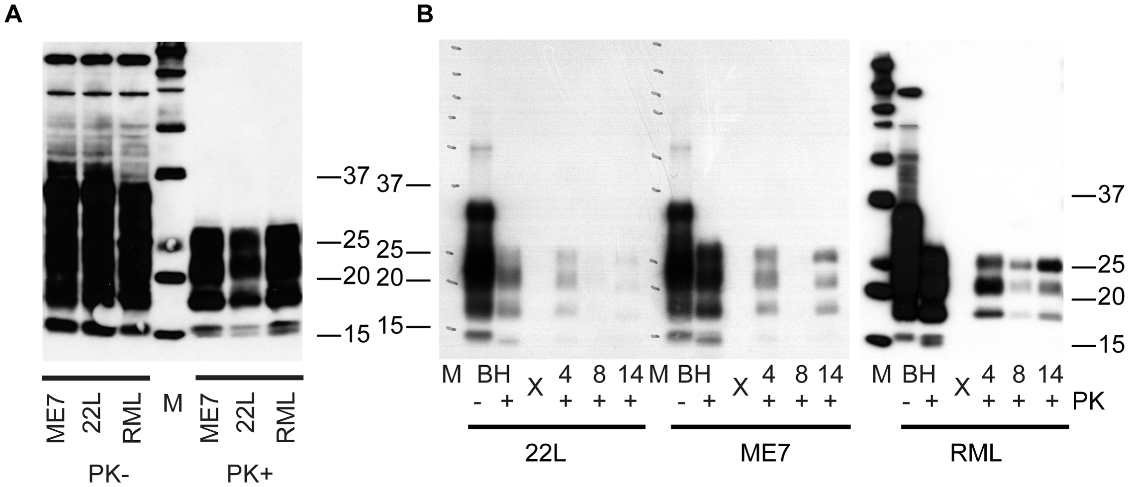 C2C12 myotubes are also susceptible to 22L and ME7 prions.