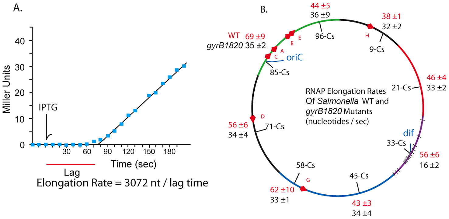RNAP elongation rates at 8 chromosomal loci in WT (red) and <i>gyrB1820</i> mutant strains (black) are significantly reduced by the GyrB1820 mutation.