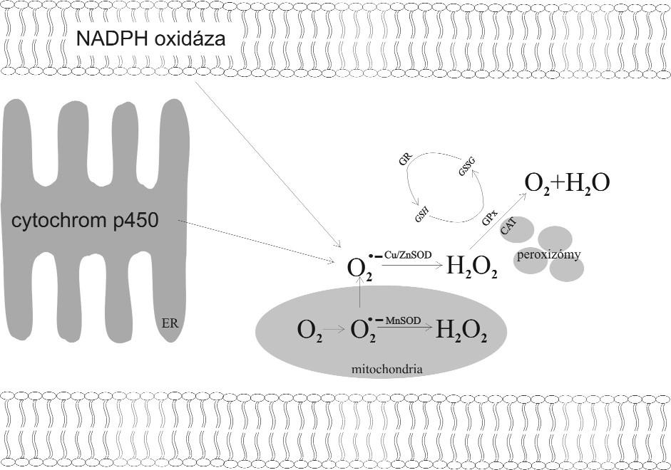 Metabolismus volných kyslíkových radikálů v buňce.