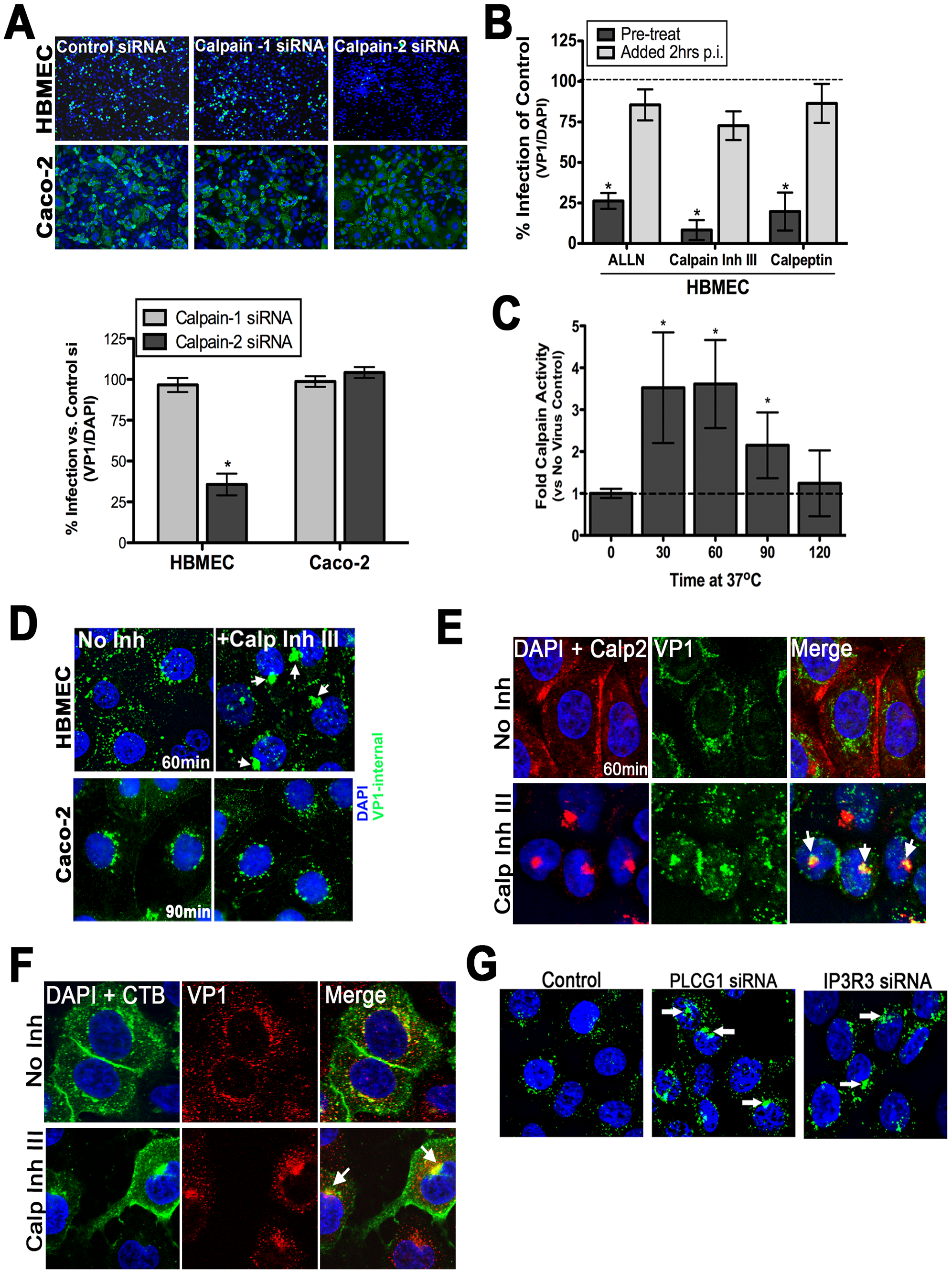 Calpain-2 is required for vesicular trafficking of internalized CVB.