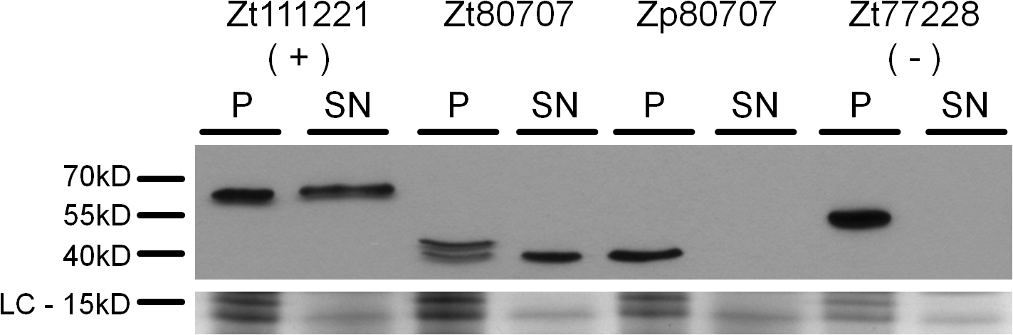 <i>Zt80707</i> encodes a signal peptide targeting the protein for cell secretion in <i>Z</i>. <i>tritici</i>.