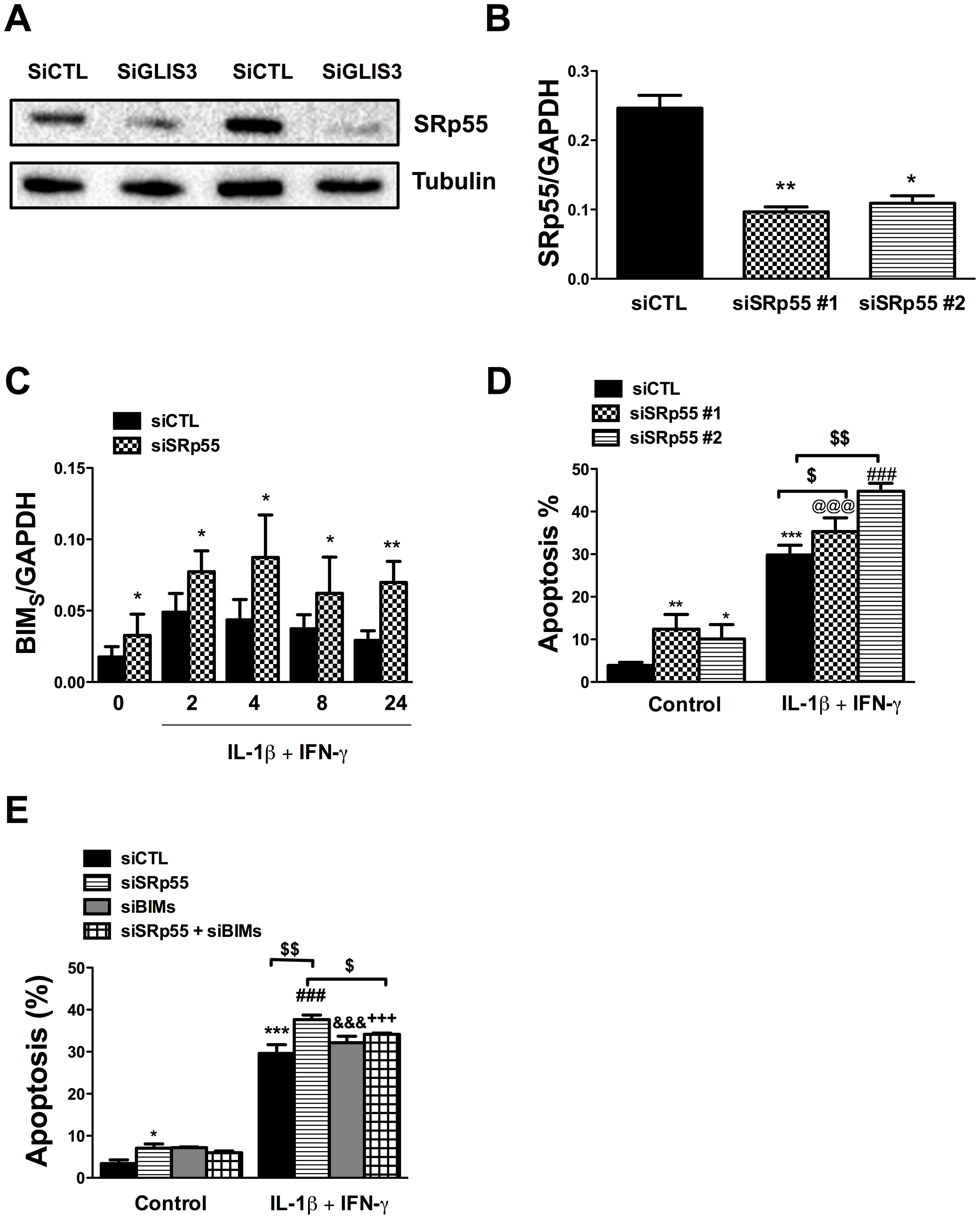 <i>GLIS3</i> KD decreases SRp55 expression in INS-1E cells.