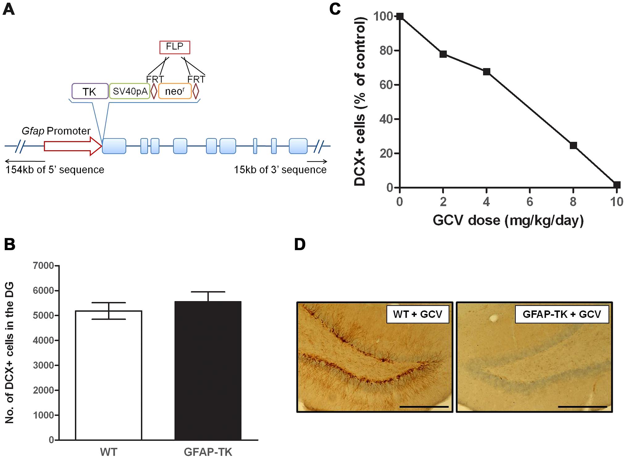 Ganciclovir administration ablates neurogenesis in the dentate gyrus of the GFAP-TK rat.