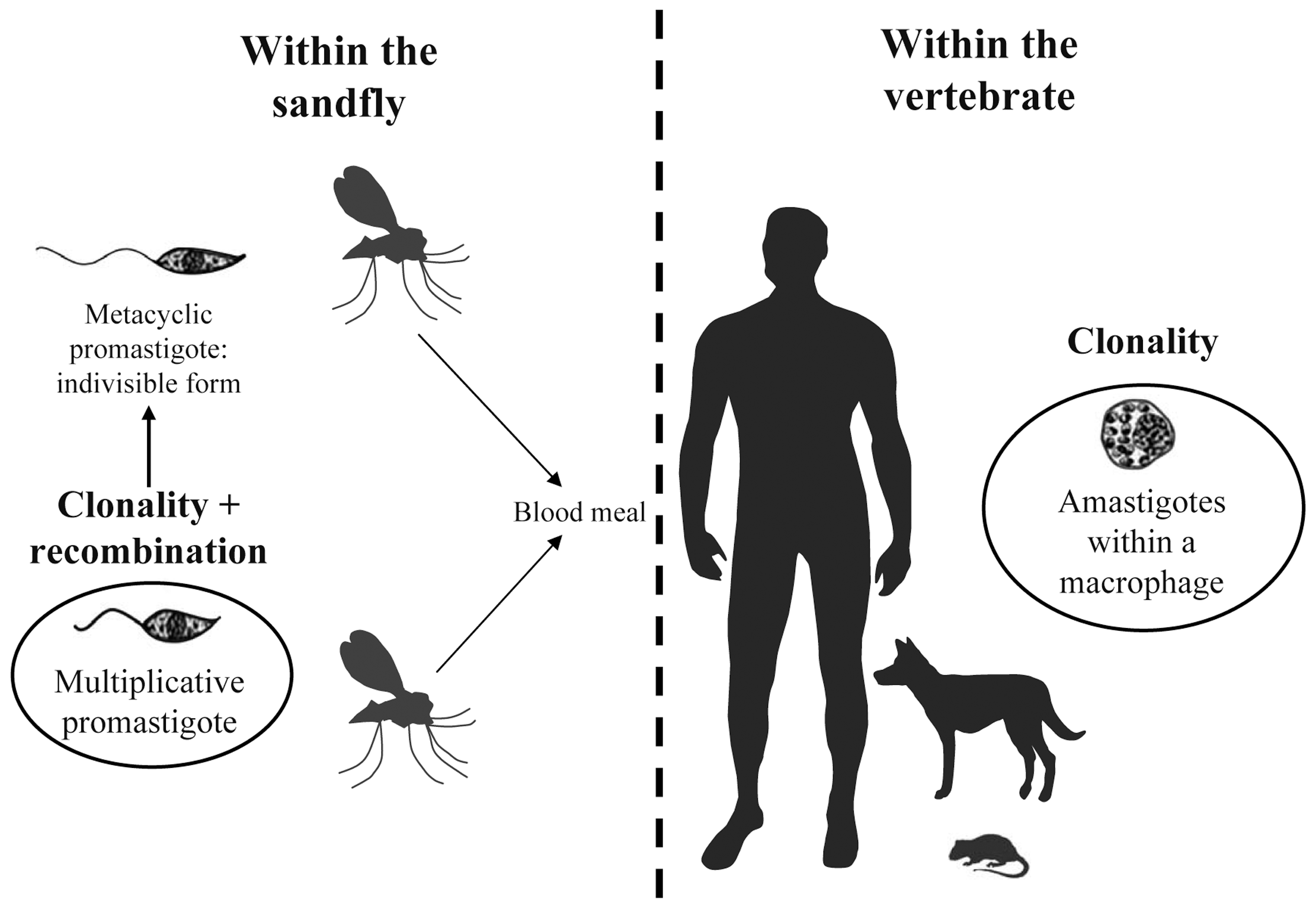 Schematic life cycle of <i>Leishmania</i> parasites.