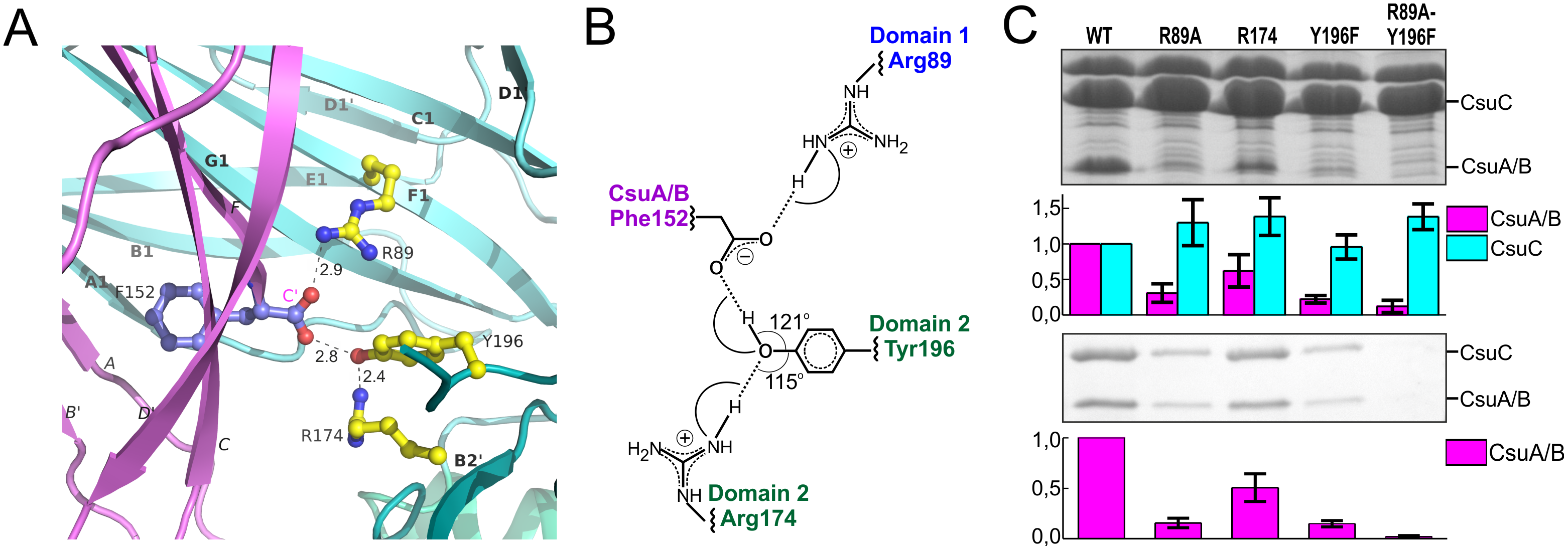 Network of ionic-hydrogen bonds anchoring the C-terminal carboxylate of CsuA/B in the inter-domain cleft of CsuC is essential for the complex formation.