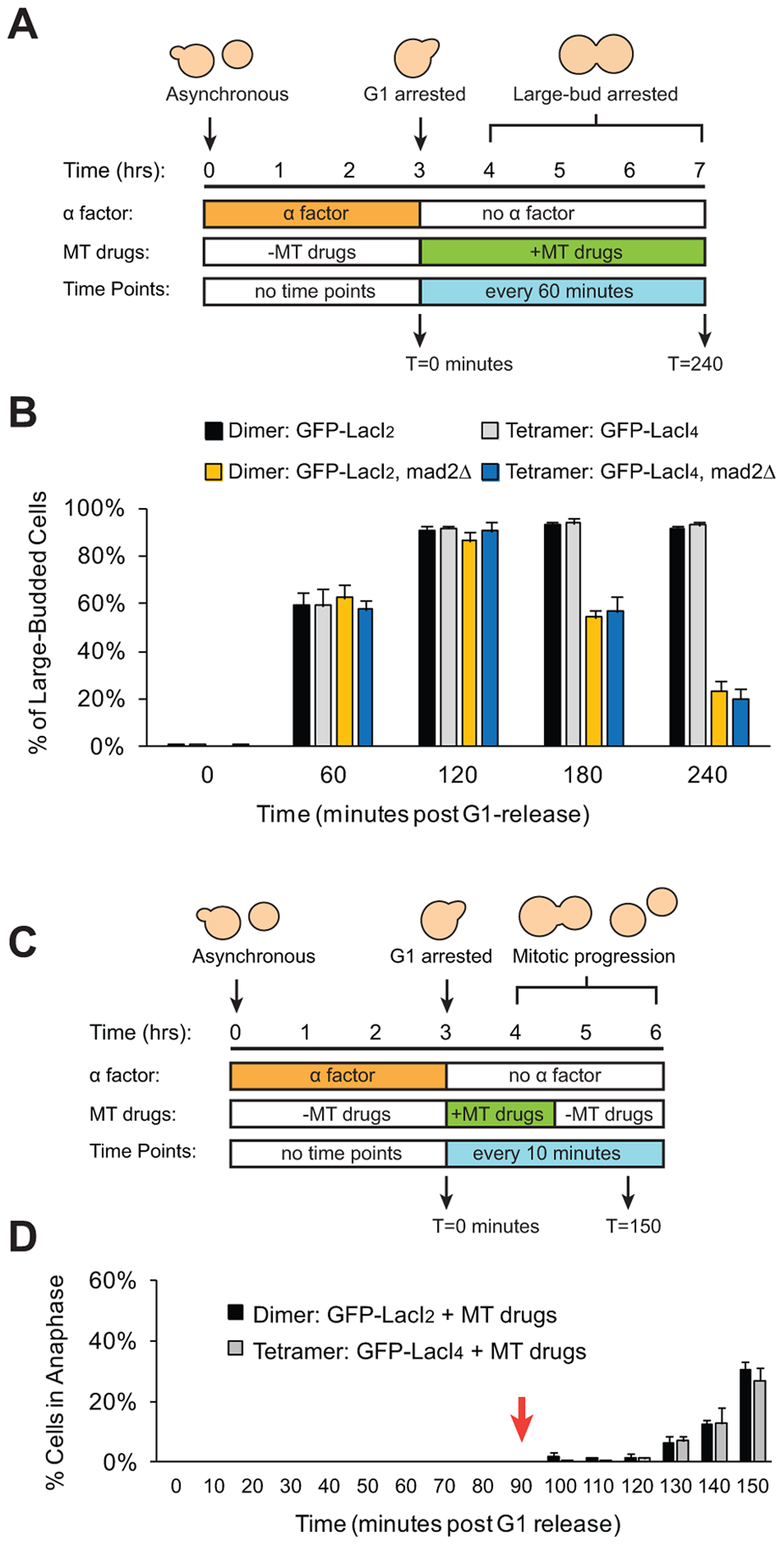 Cells with tethered centromeres can activate the spindle checkpoint.