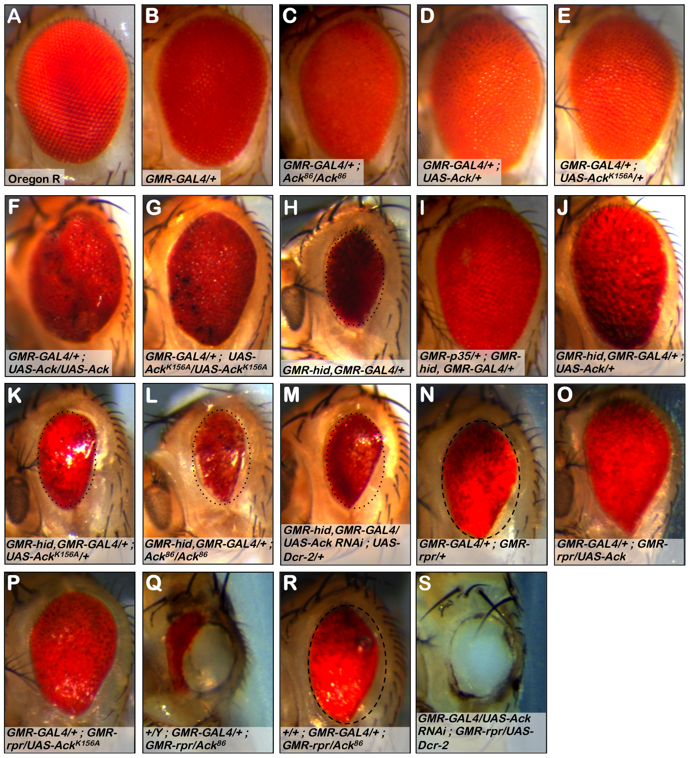 Ack suppresses small eye phenotypes induced by hid and rpr.