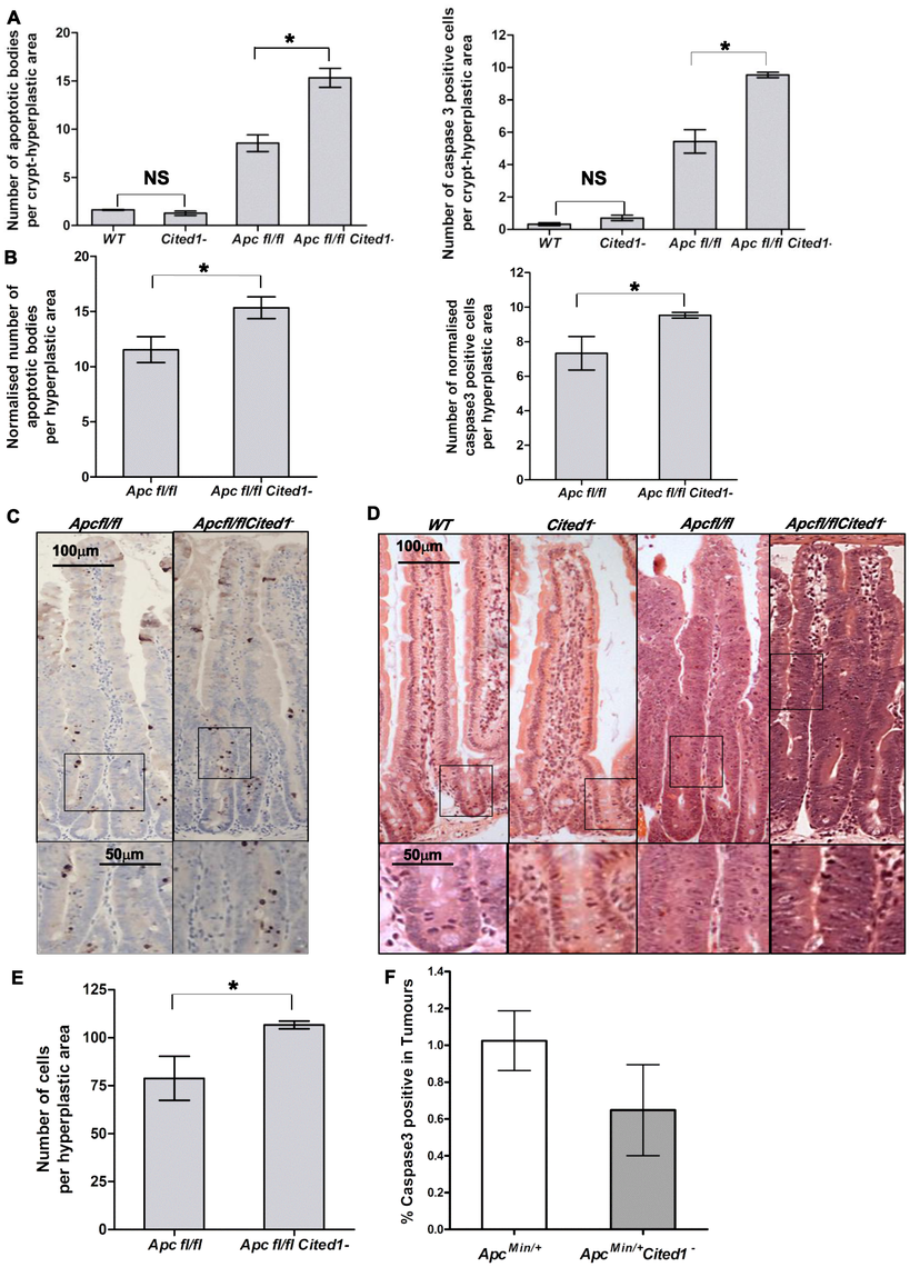 <i>Cited1</i> deficiency enhances increased apoptosis in <i>AhCre<sup>+</sup>Apc<sup>fl/fl</sup></i> mice.