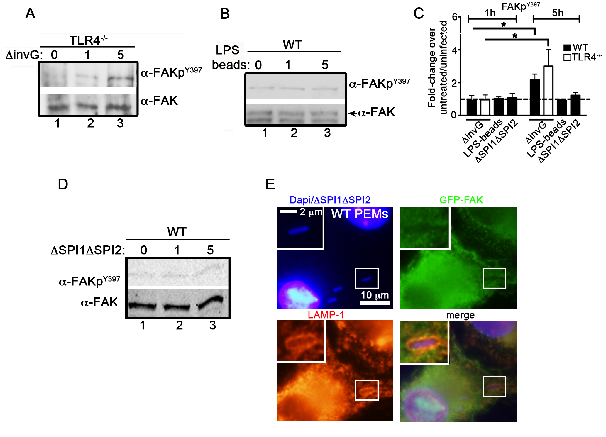 <i>Salmonella</i> specifically targets FAK for activation.