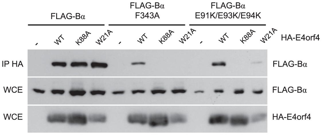 Binding of class II E4orf4 mutants to B55α mutants.