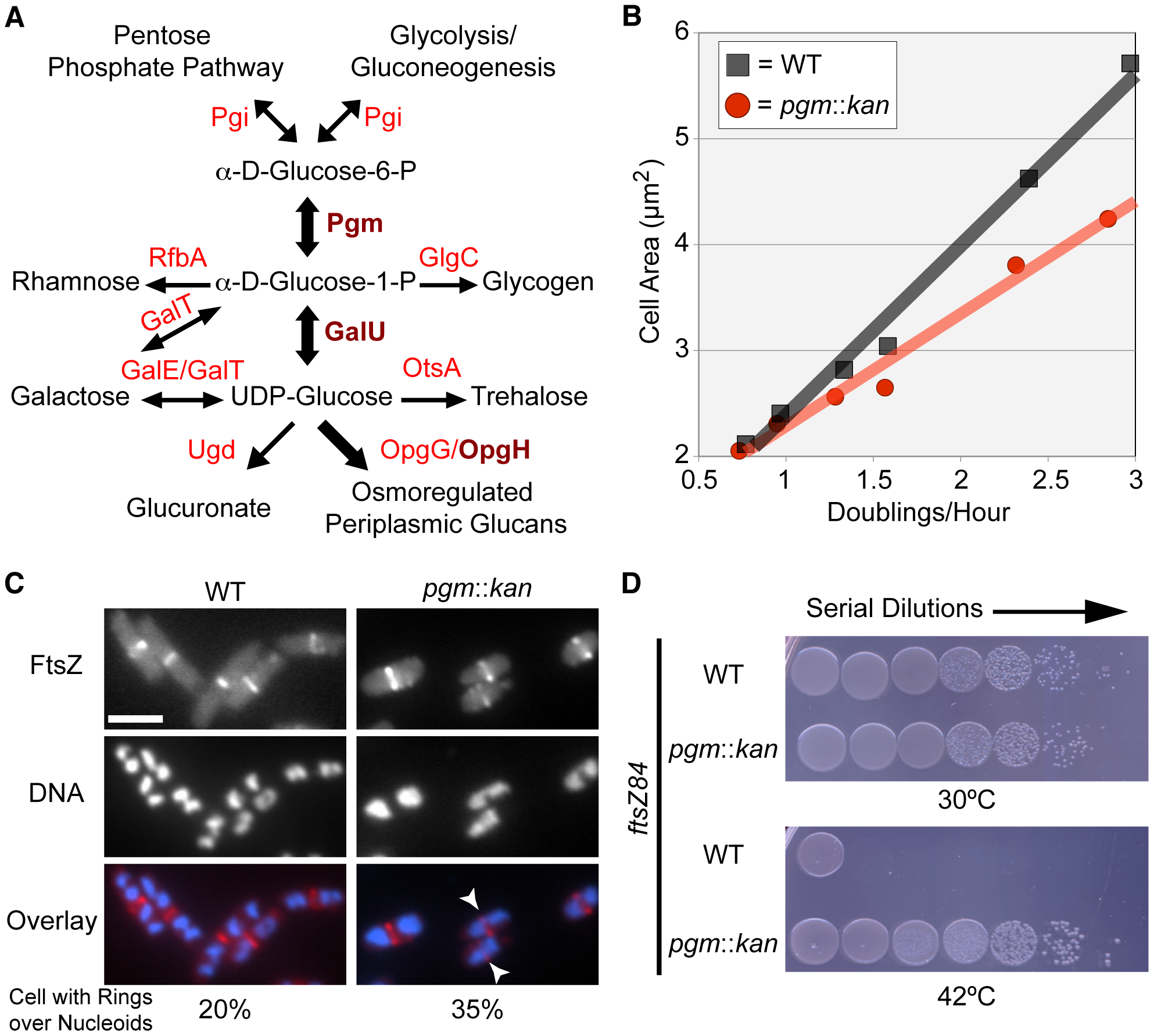 <i>E. coli</i> utilizes UDP-glucose to coordinate nutrient availability with cell size.