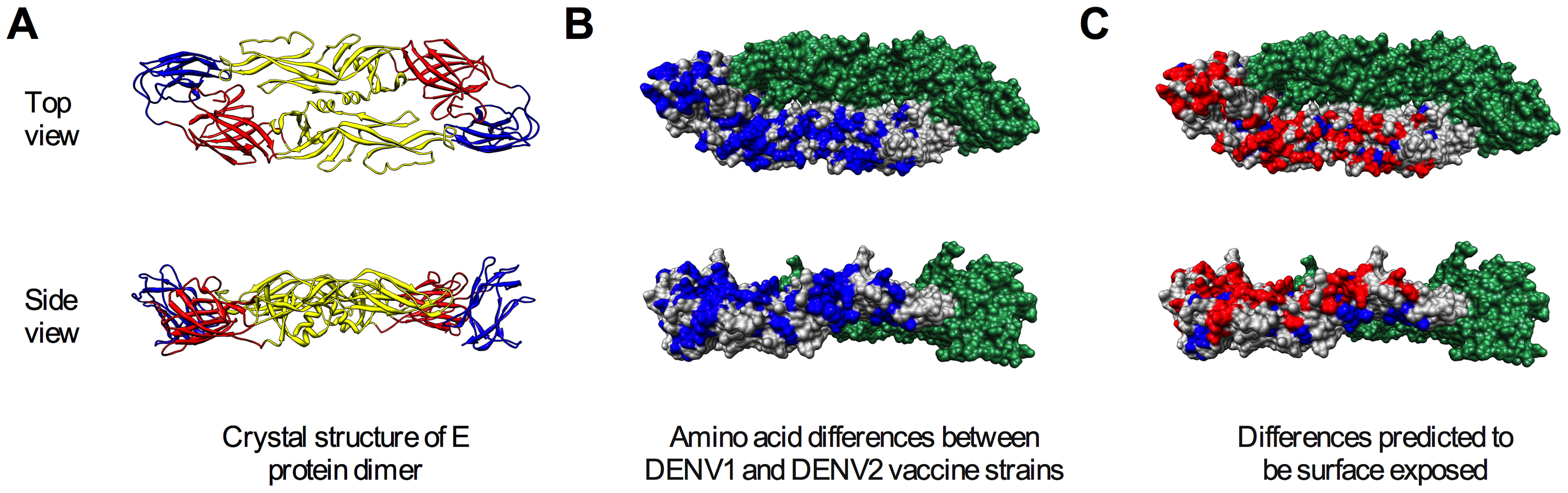 Surface-accessible residues that differ between DENV1 and DENV2 identified for mutagenesis.